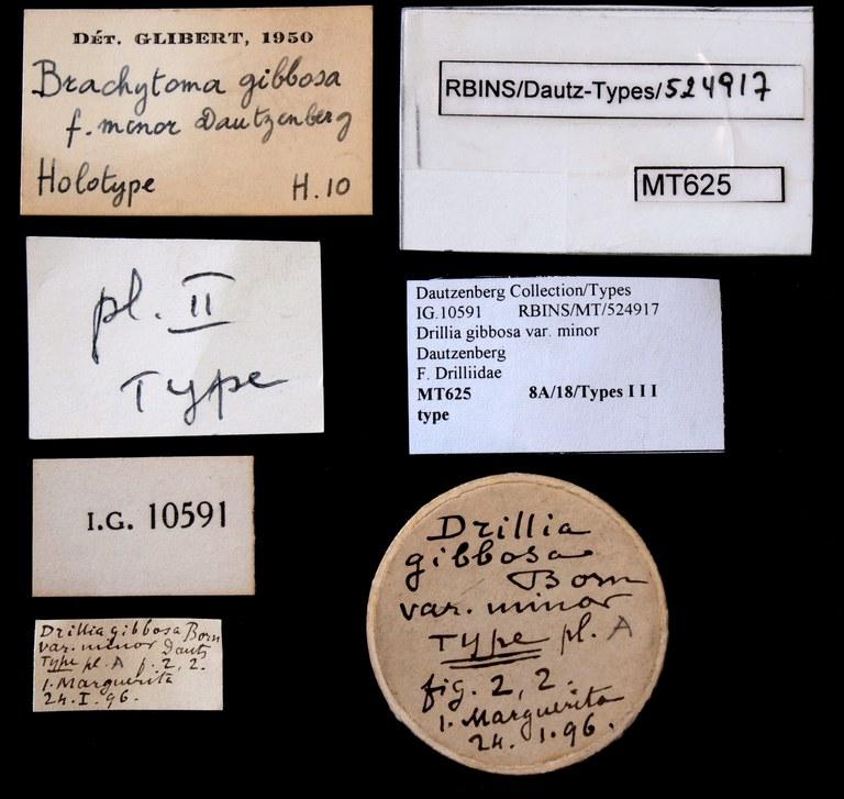 BE-RBINS-INV TYPE MT 625 Drillia gibbosa var. minor LABELS.jpg