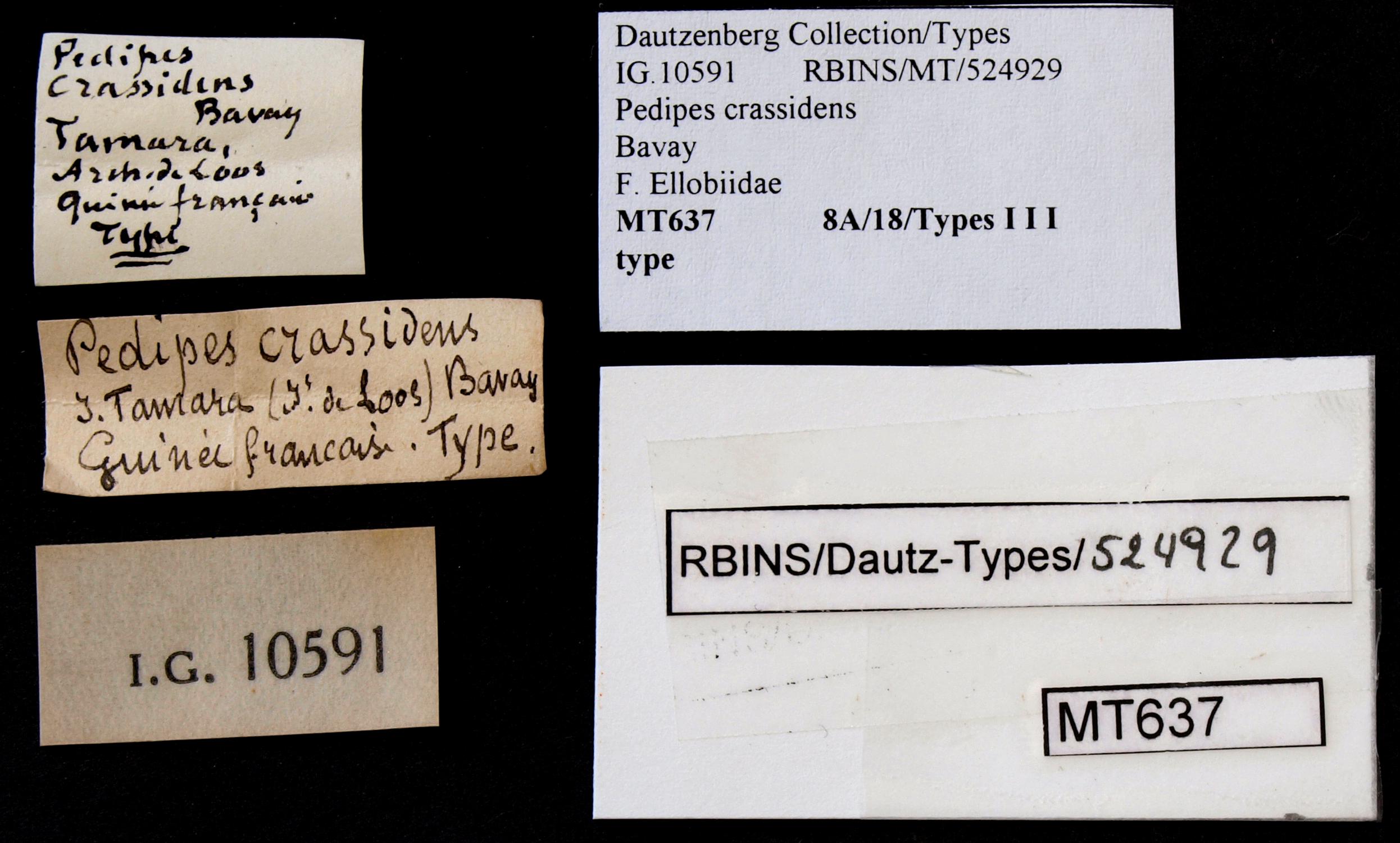 BE-RBINS-INV MT 637 Pedipes crassidens Type Lb.jpg