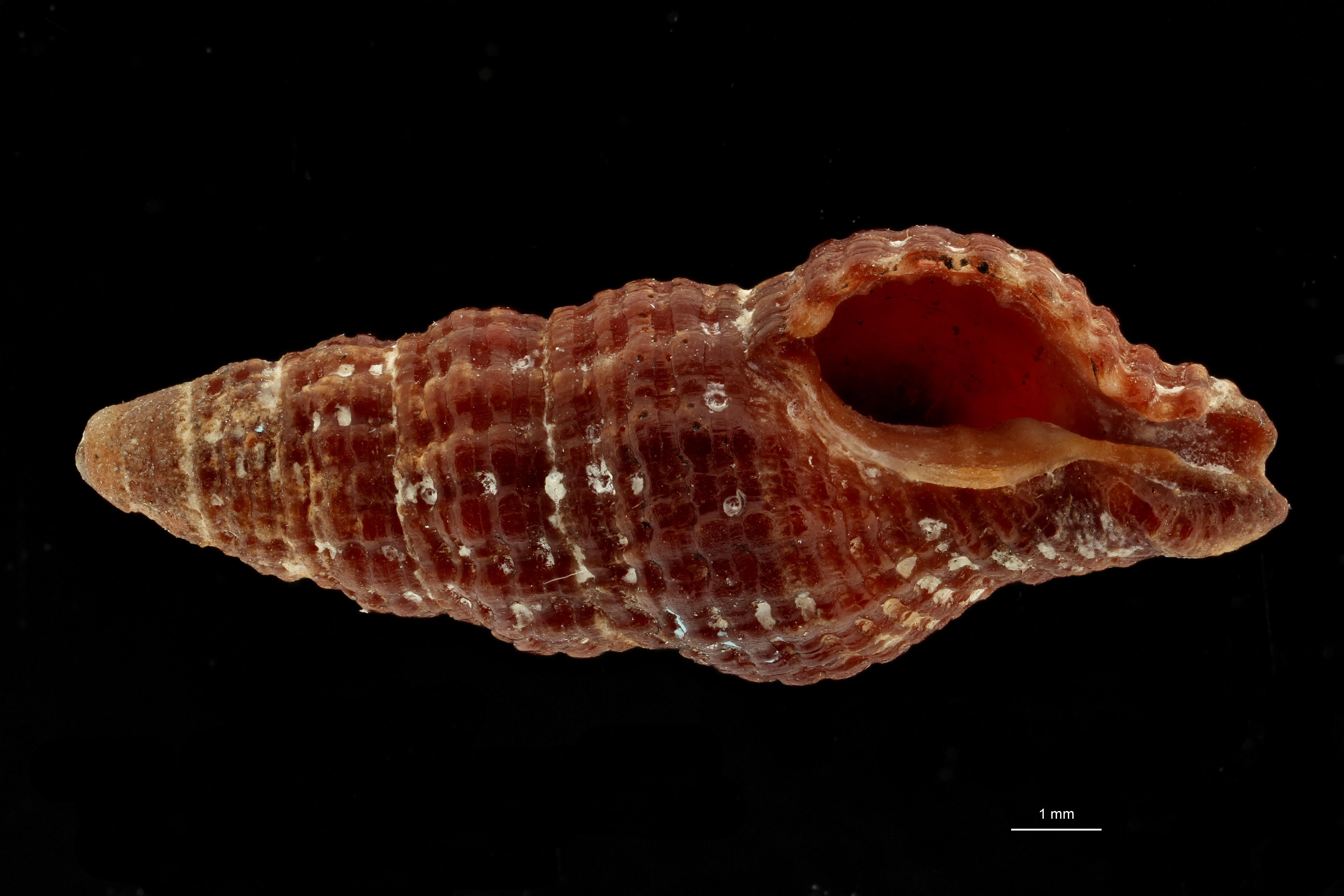 0618 Latirus funebris Typ V ZS PMax Scaled.jpg