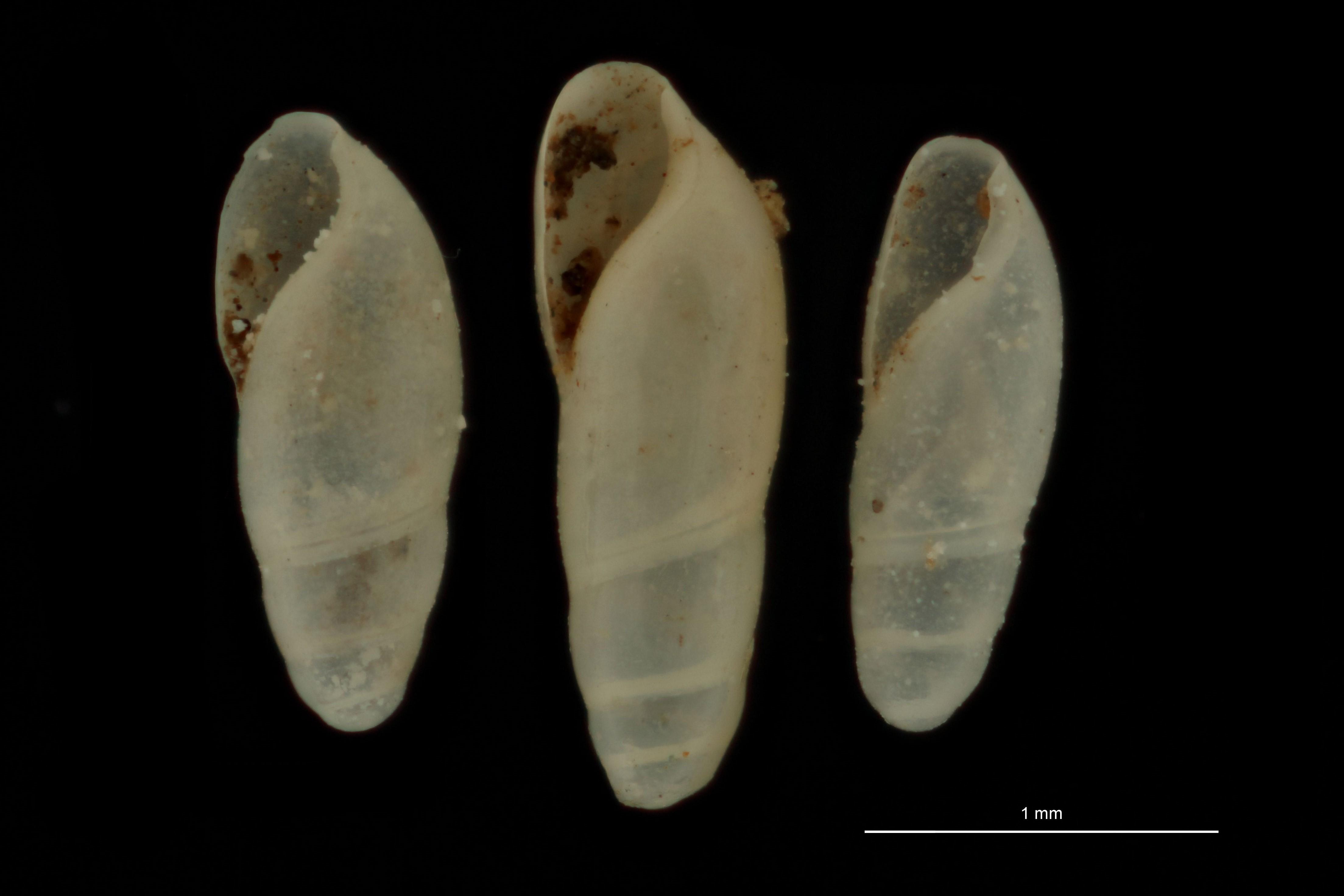 BE-RBINS-INV MT.3714 Caecilianella veracruzensis st GOUPE.jpg