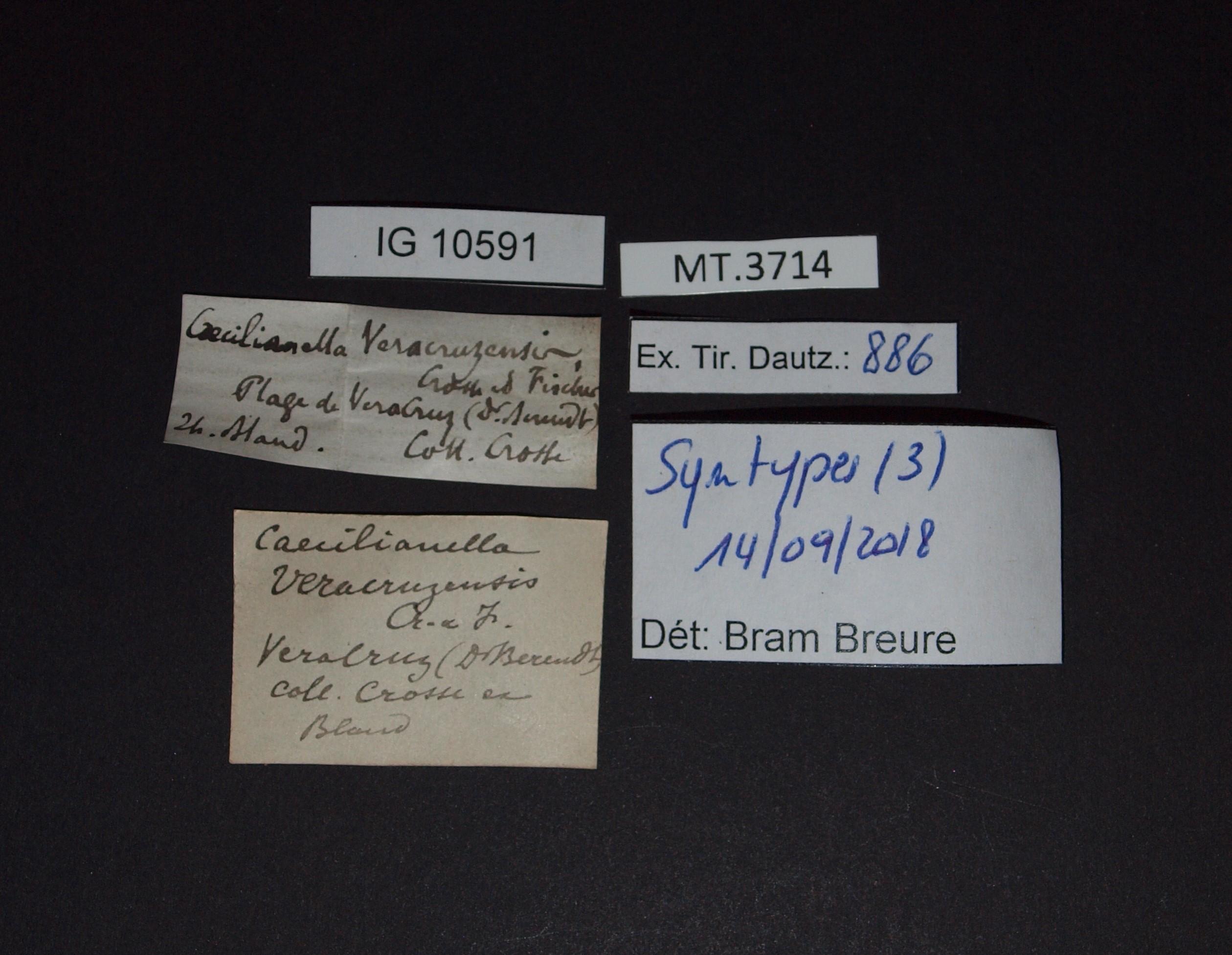 BE-RBINS-INV MT.3714 Caecilianella veracruzensis st.JPG