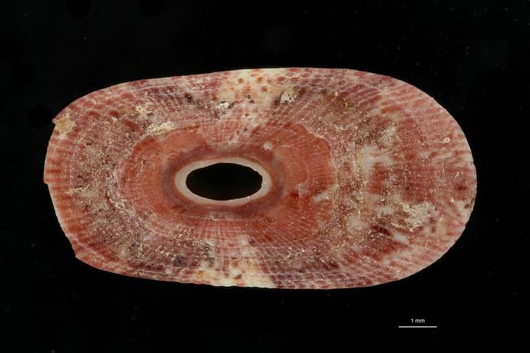 BE-RBINS-INV PARATYPE MT 3 Lucapinella versluysi DORSAL ZS DMap Scaled.jpg