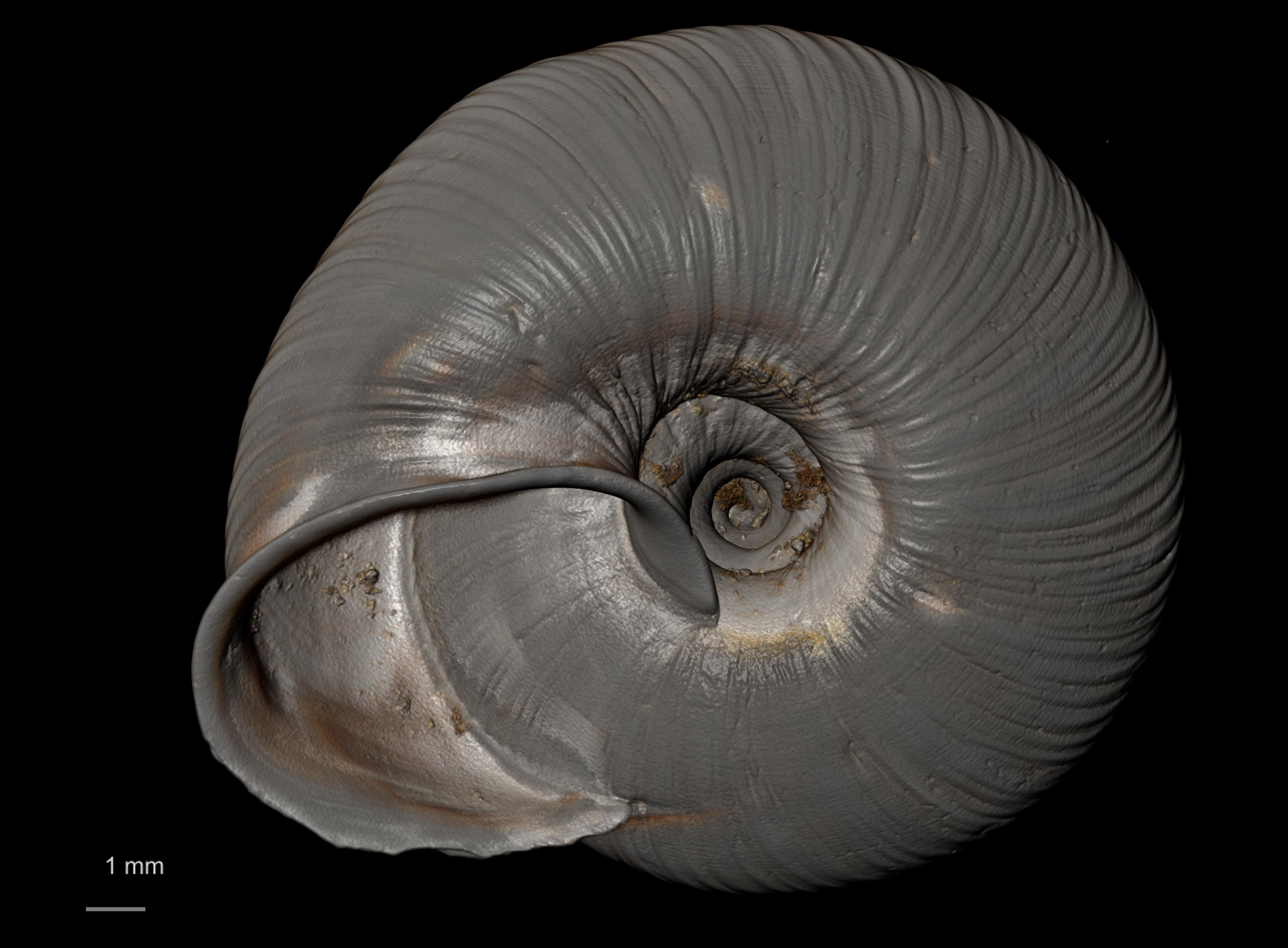 BE-RBINS-INV SYNTYPE MT 2395 Helix (Aegista) packhaensis var. azona MCT XRE BOTTOM.jpg