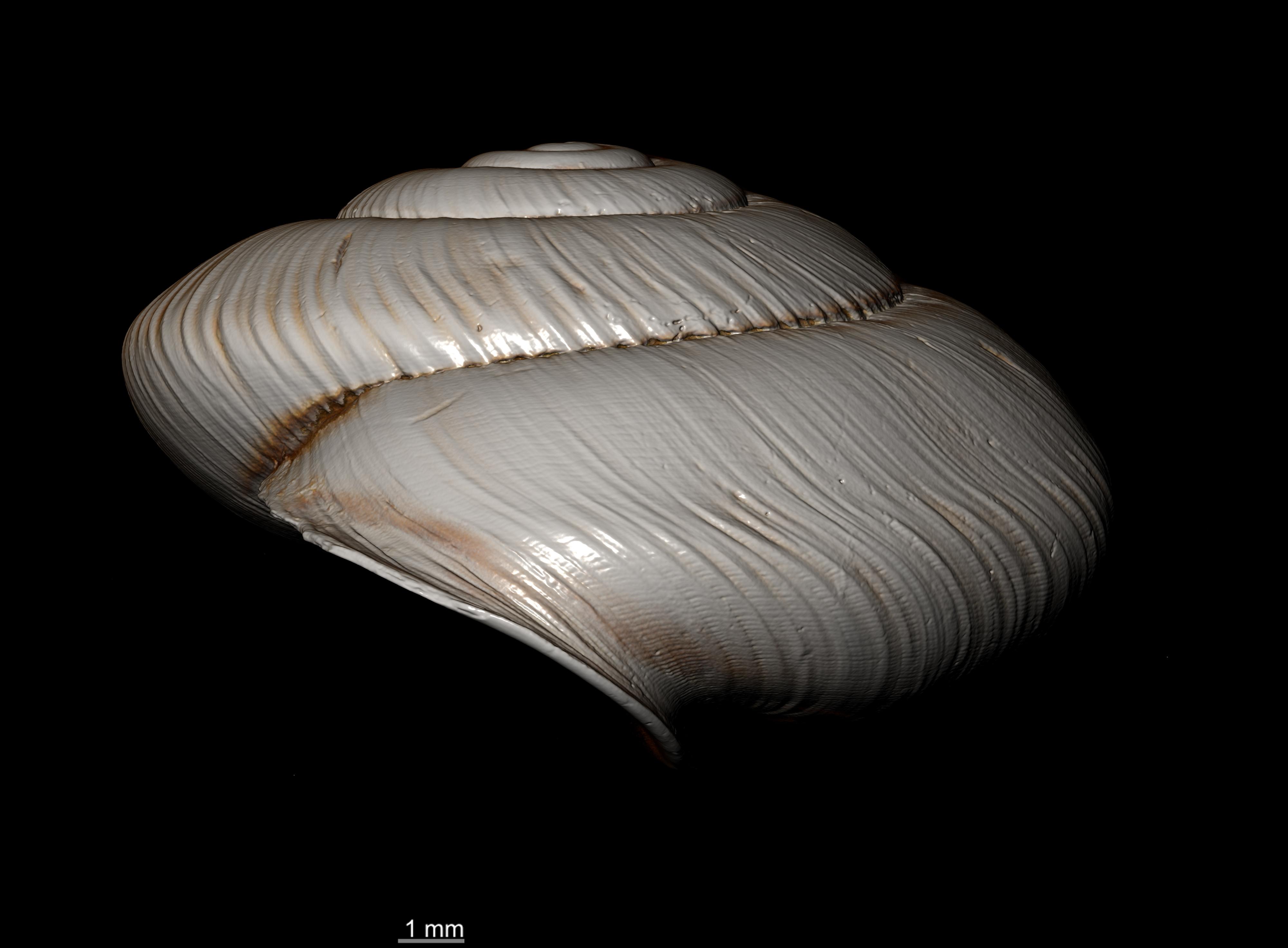 BE-RBINS-INV SYNTYPE MT 2395 Helix (Aegista) packhaensis var. azona MCT XRE PROFILE.jpg