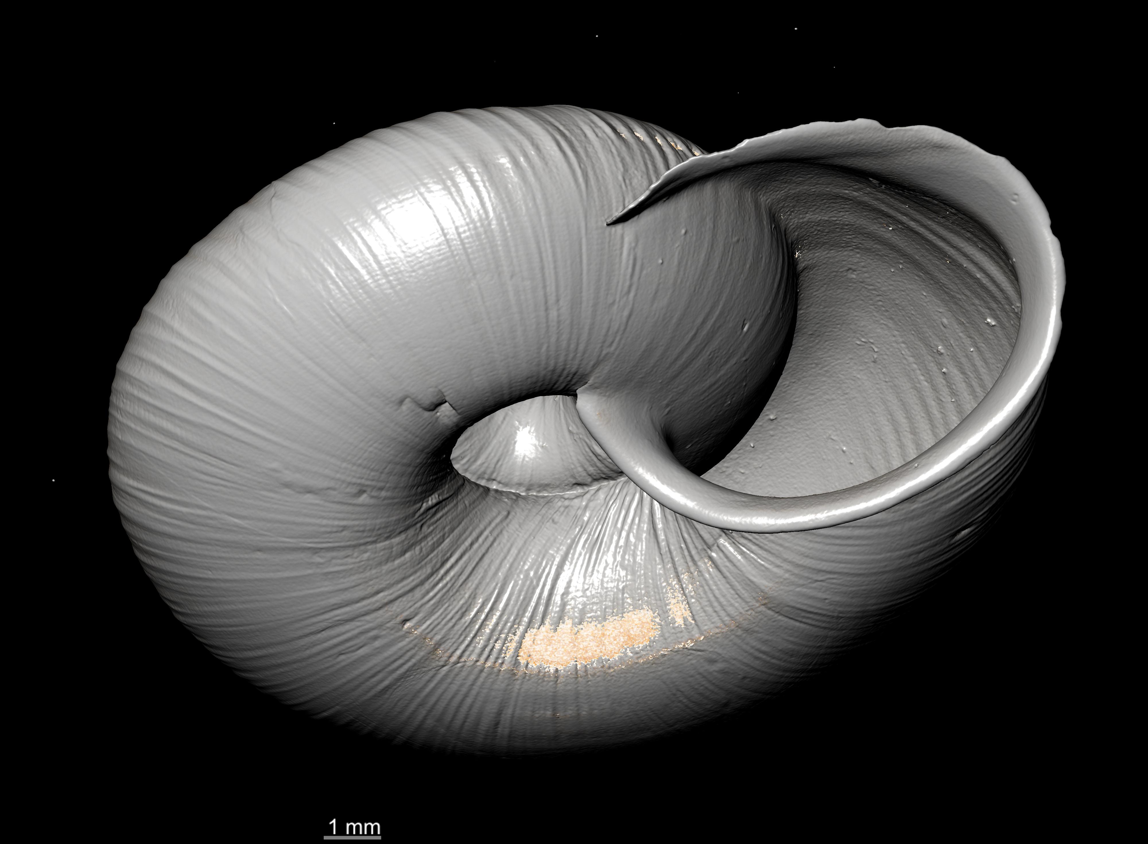 BE-RBINS-INV SYNTYPE MT 2394 Helix (Aegista) packhaensis var. rufula MCT XRE PLANE APERTURE.jpg