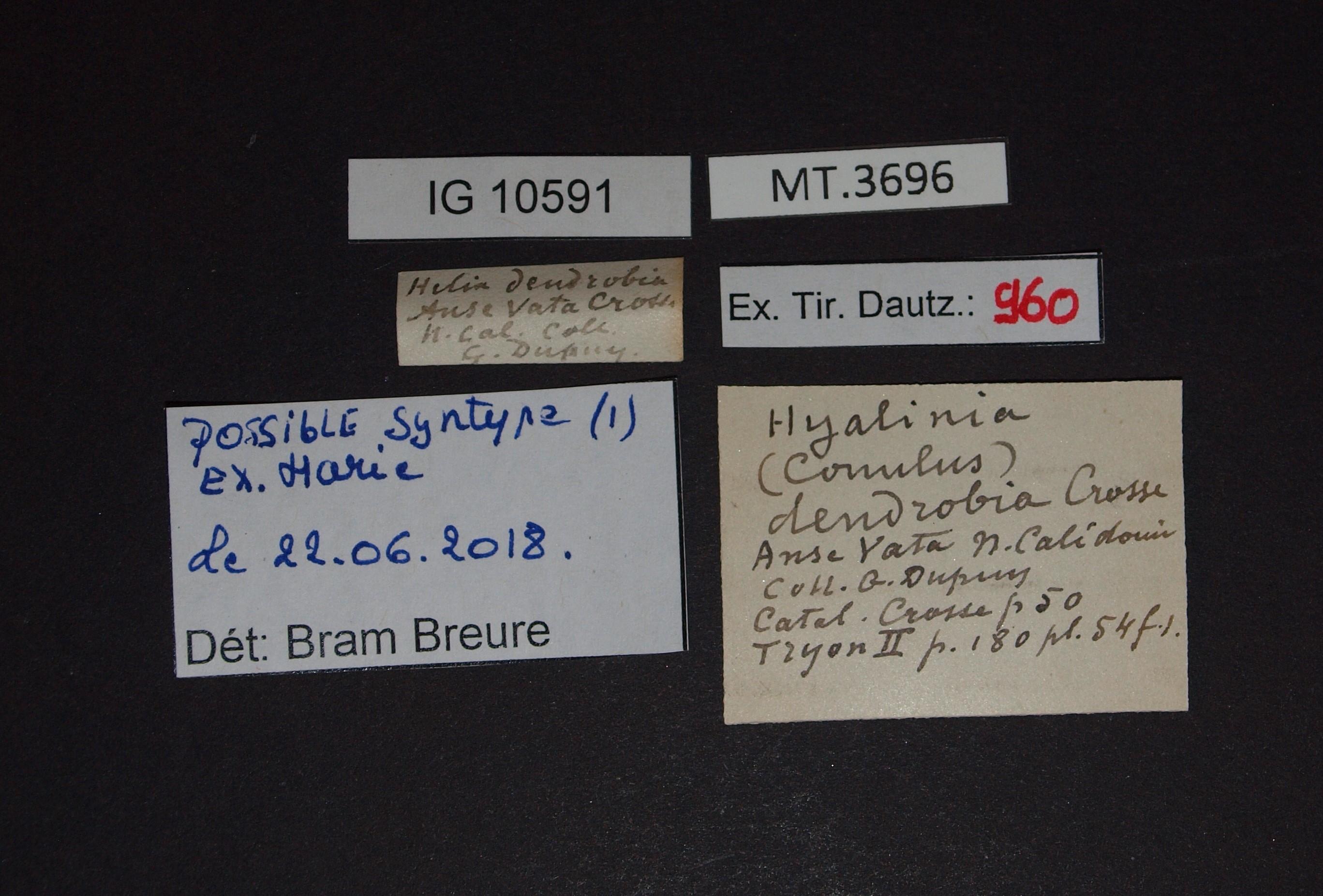 BE-RBINS-INV MT.3696 Helix dendrobia st Lb.jpg