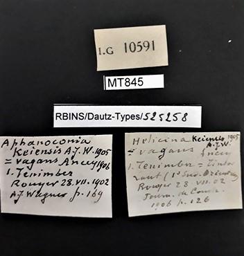 BE-RBINS-INV MT 845 Aphanoconia keiensis pt Lb.jpg