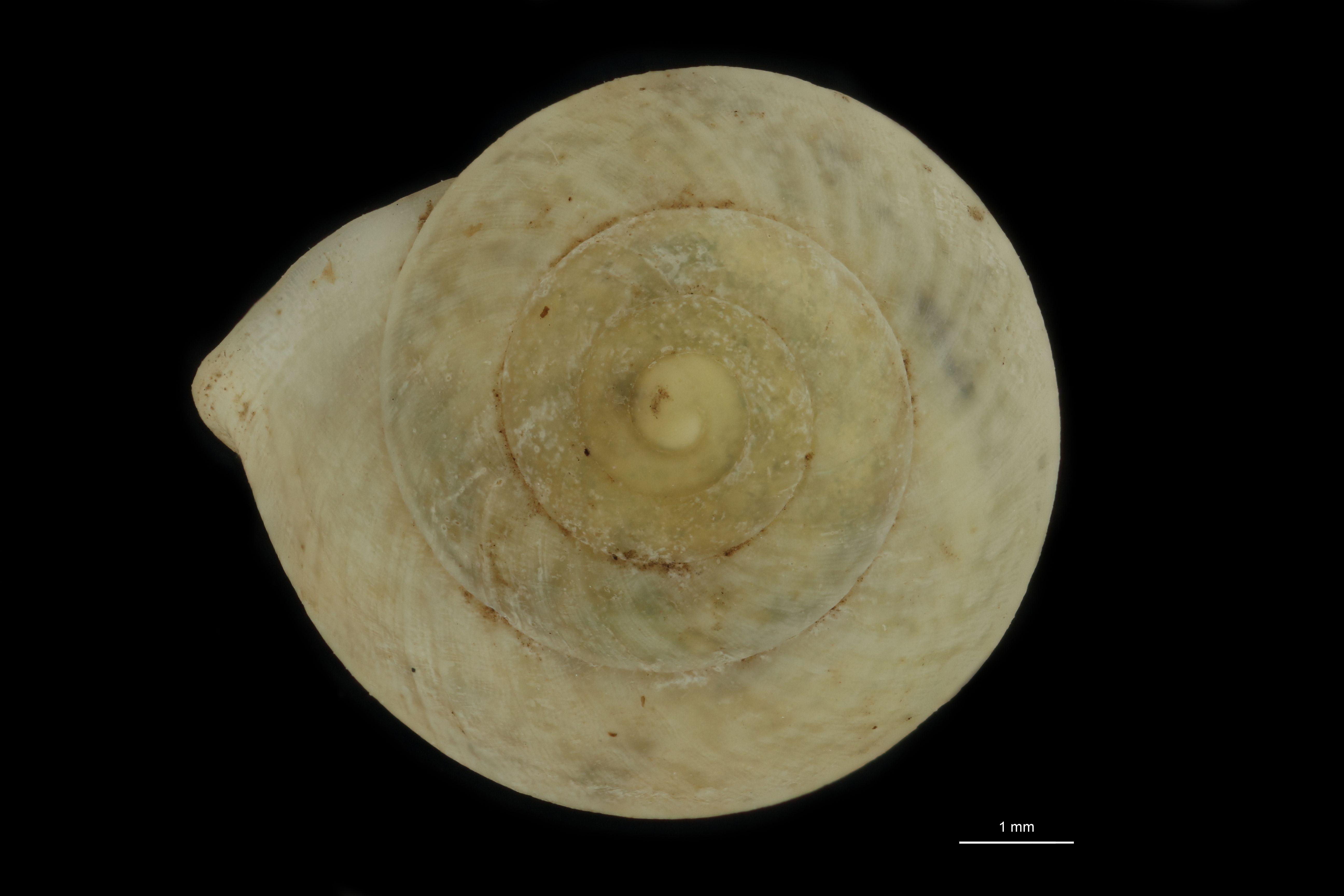 BE-RBINS-INV MT 826 Helicina caucaensis pt D.jpg