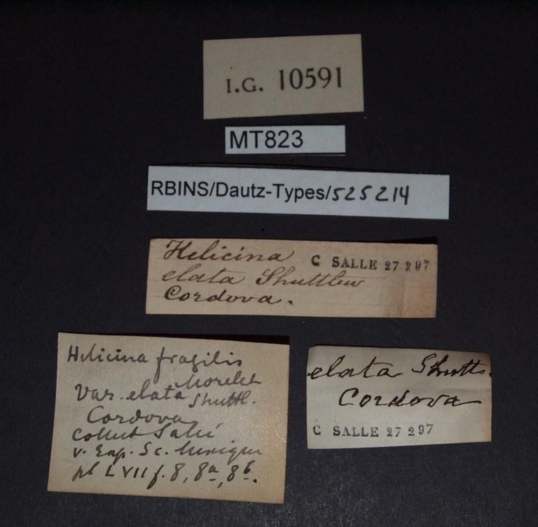 BE-RBINS-INV PARATYPE PARATYPE MT 823 Helicina fragilis var. elata LABELS.jpg