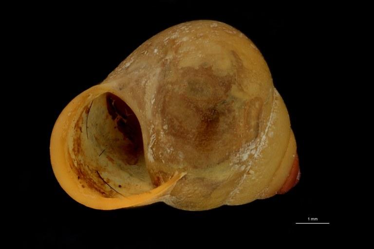 BE-RBINS-INV PARATYPE MT 829 Helicina (Gemma) gemma FRONTAL.jpg