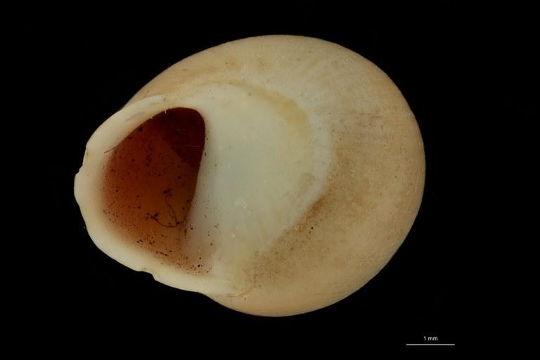 BE-RBINS-INV PARATYPE MT 887 Helicina lifouana FRONTAL.jpg