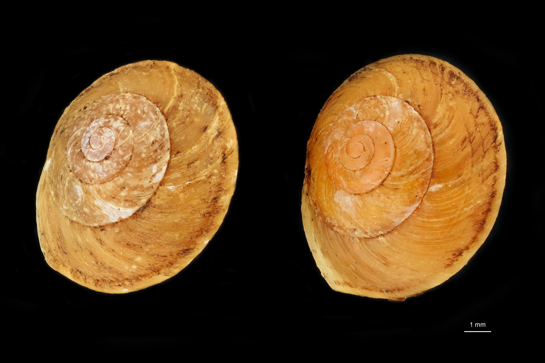 BE-RBINS-INV MT 854 Helicina ogasawarana var. rex pt GROUPE.jpg