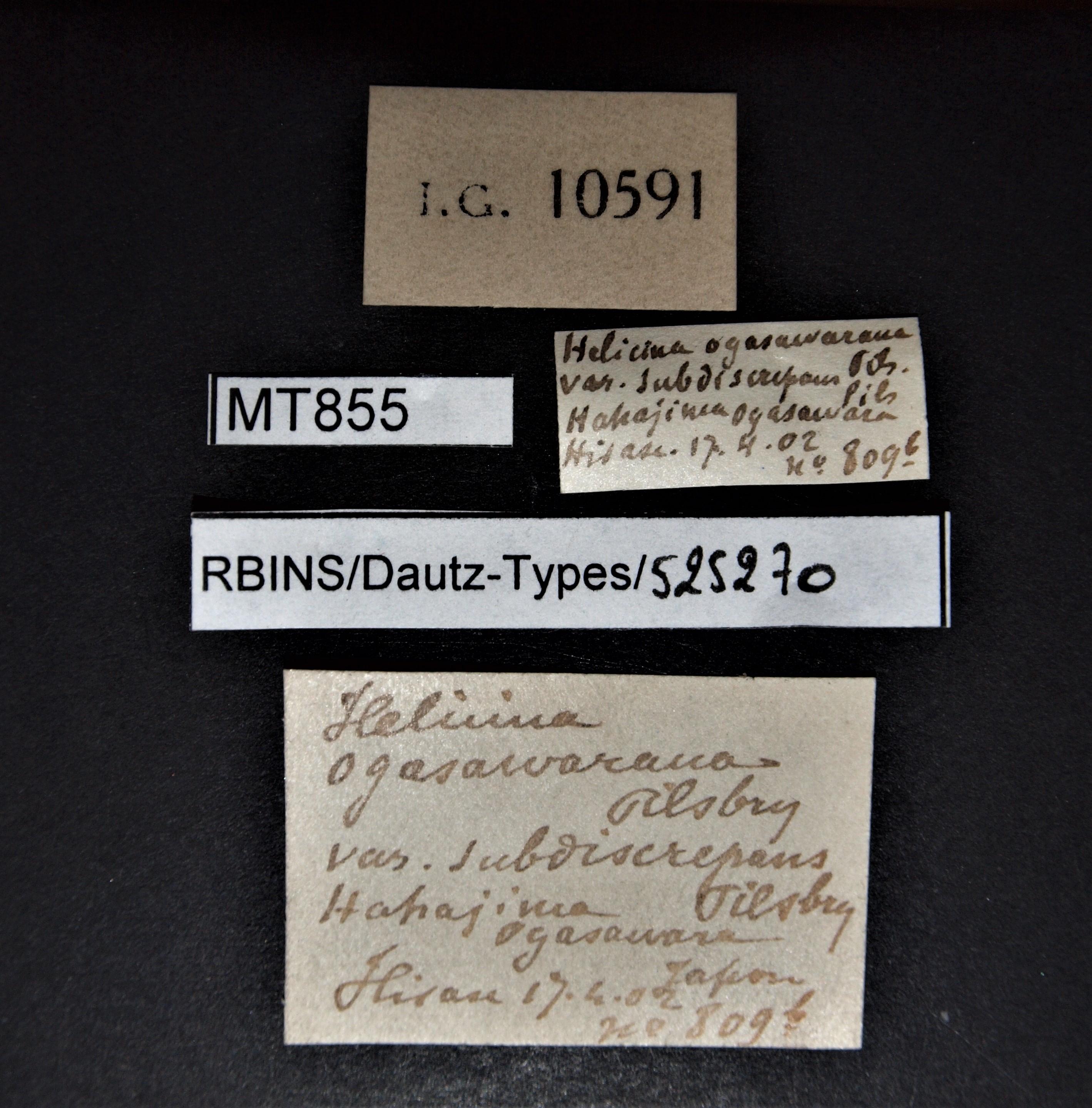 BE-RBINS-INV MT 855 Helicina ogasawarana var. subdiscrepans pt Lb.jpg