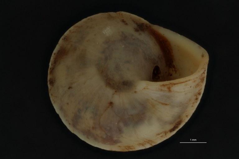 BE-RBINS-INV PARATYPE MT 863 Helicina (Paleohelicina) contermina var. camiguinensis BUCAL.jpg