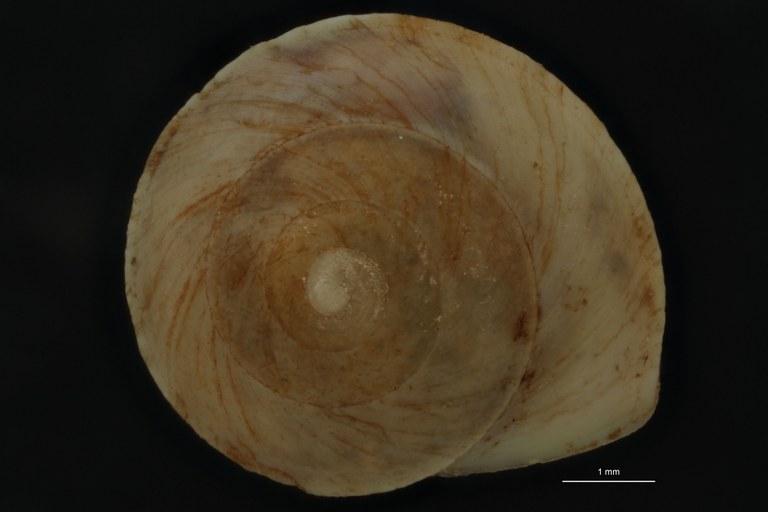 BE-RBINS-INV PARATYPE MT 863 Helicina (Paleohelicina) contermina var. camiguinensis DORSAL.jpg