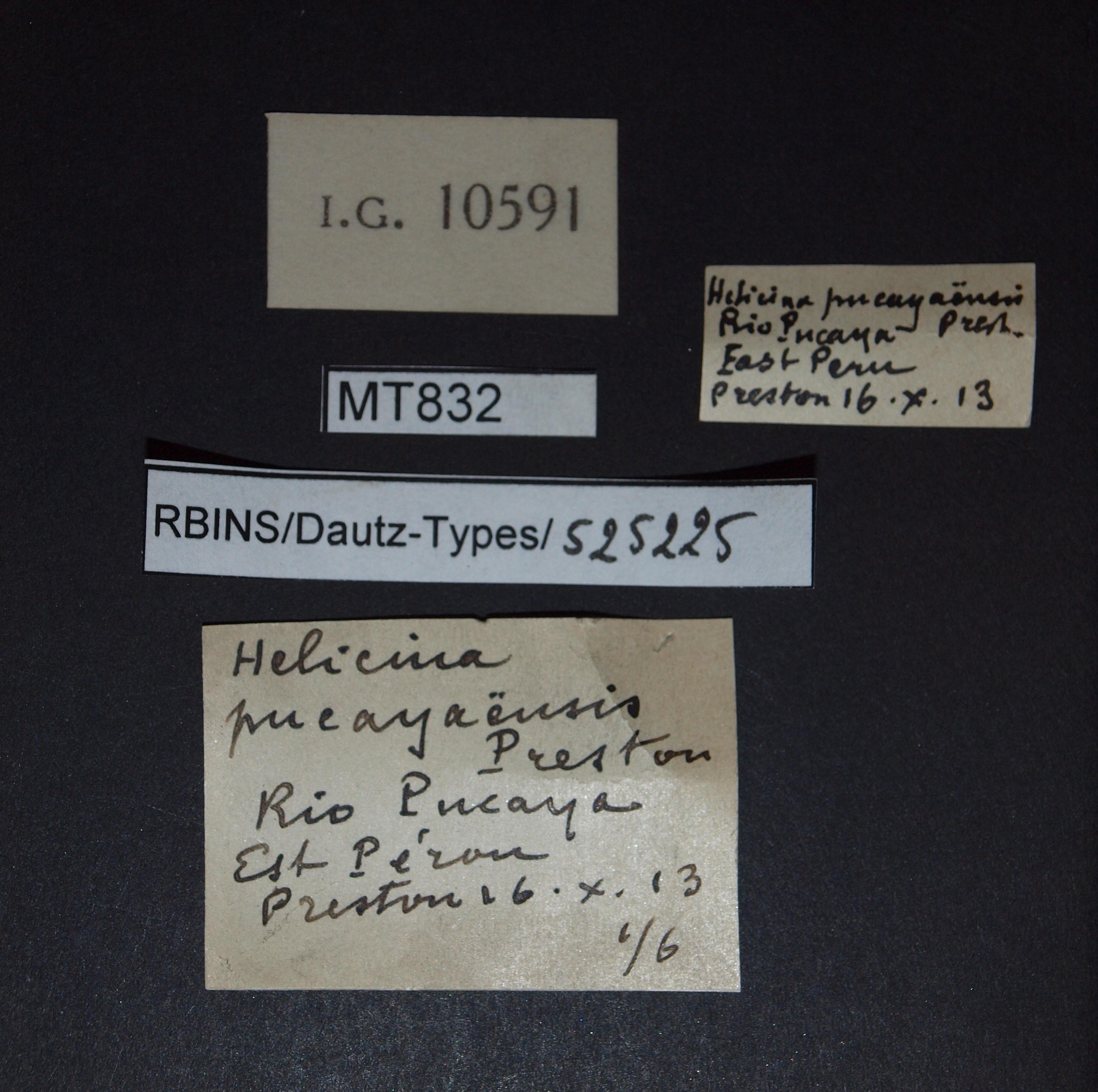 Helicina pucayaensis pt.JPG