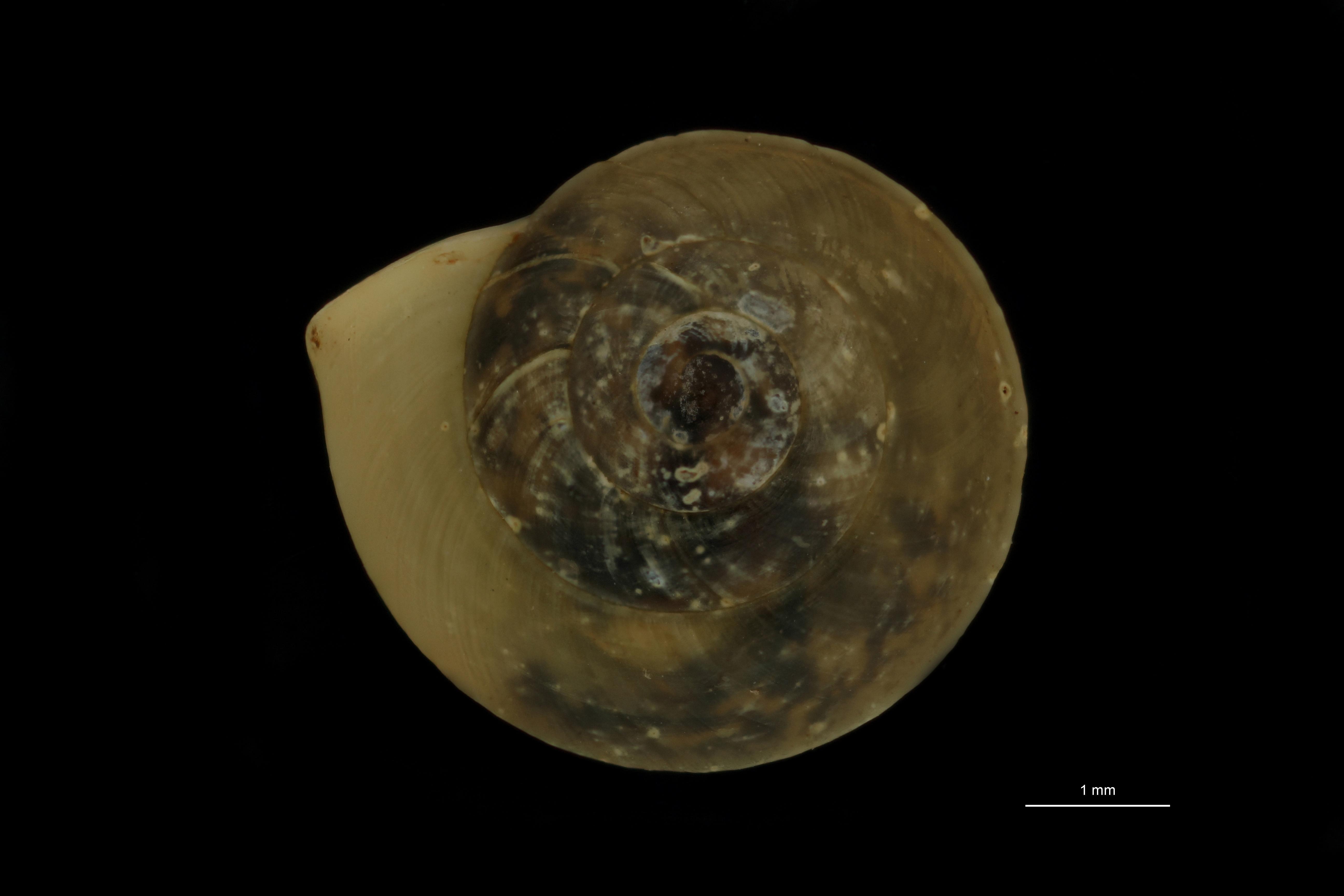 BE-RBINS-INV MT 865 Helicina sadoensis pt D.jpg