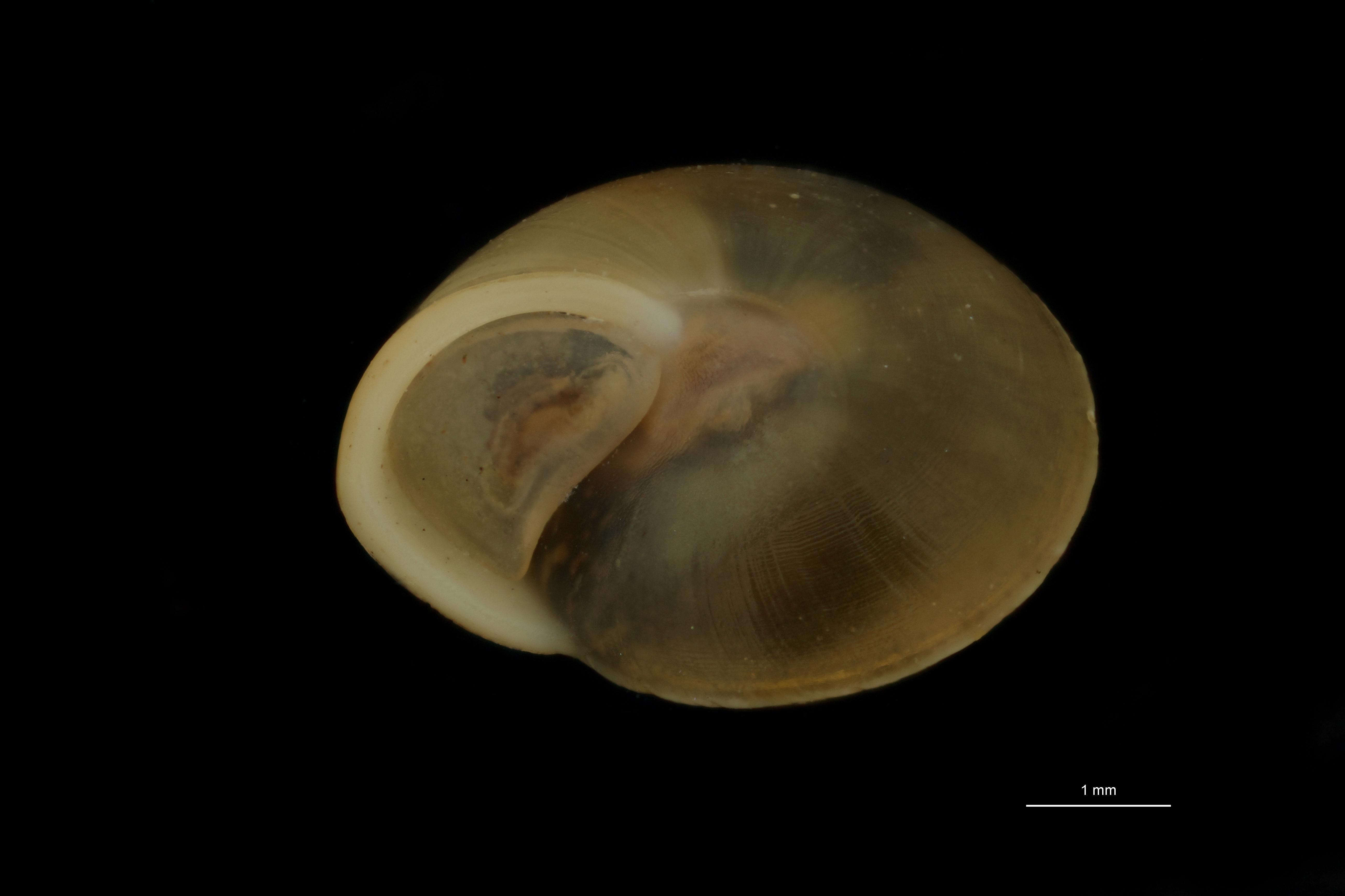 BE-RBINS-INV MT 865 Helicina sadoensis pt F.jpg