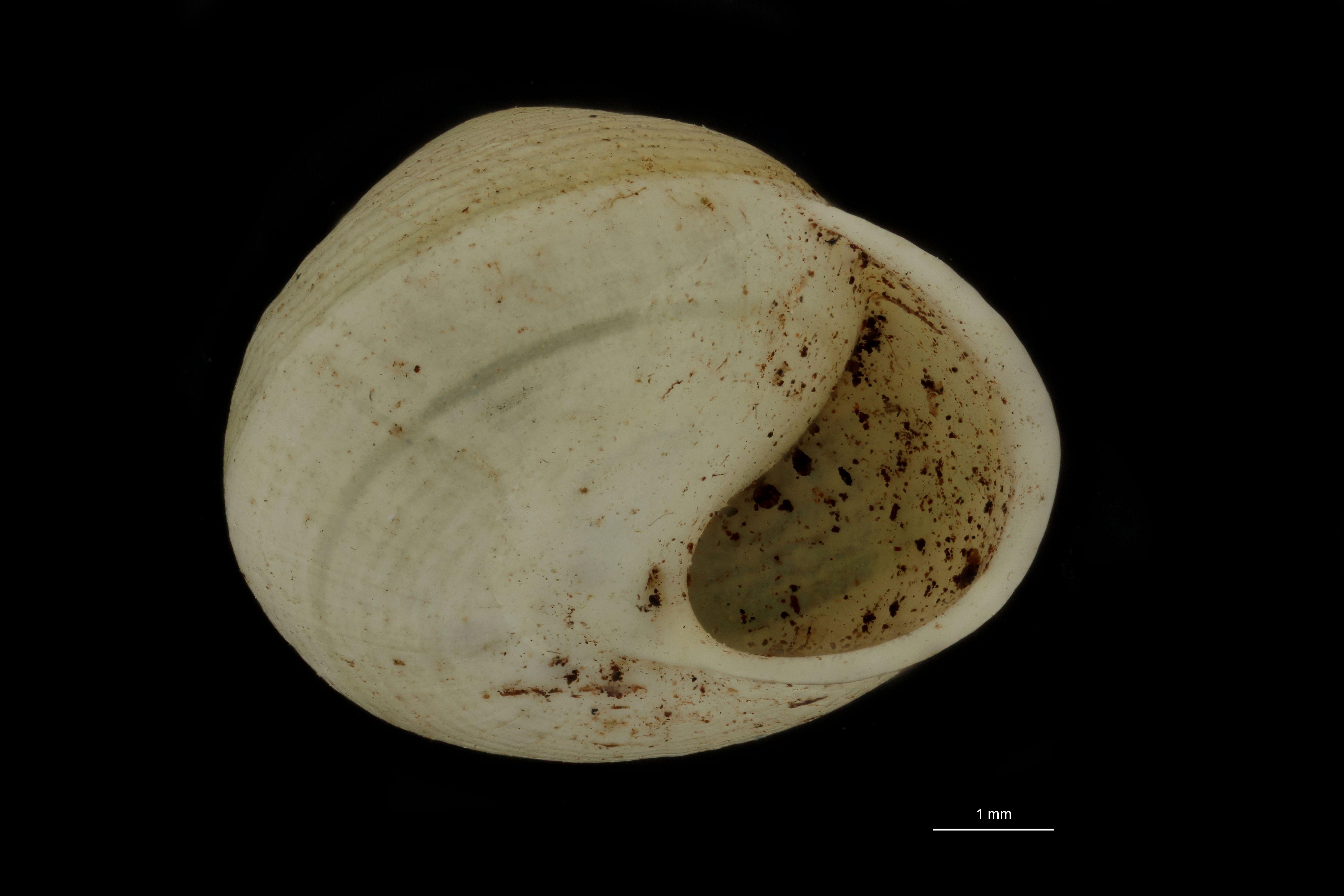 Helicina arenicola pt F.jpg