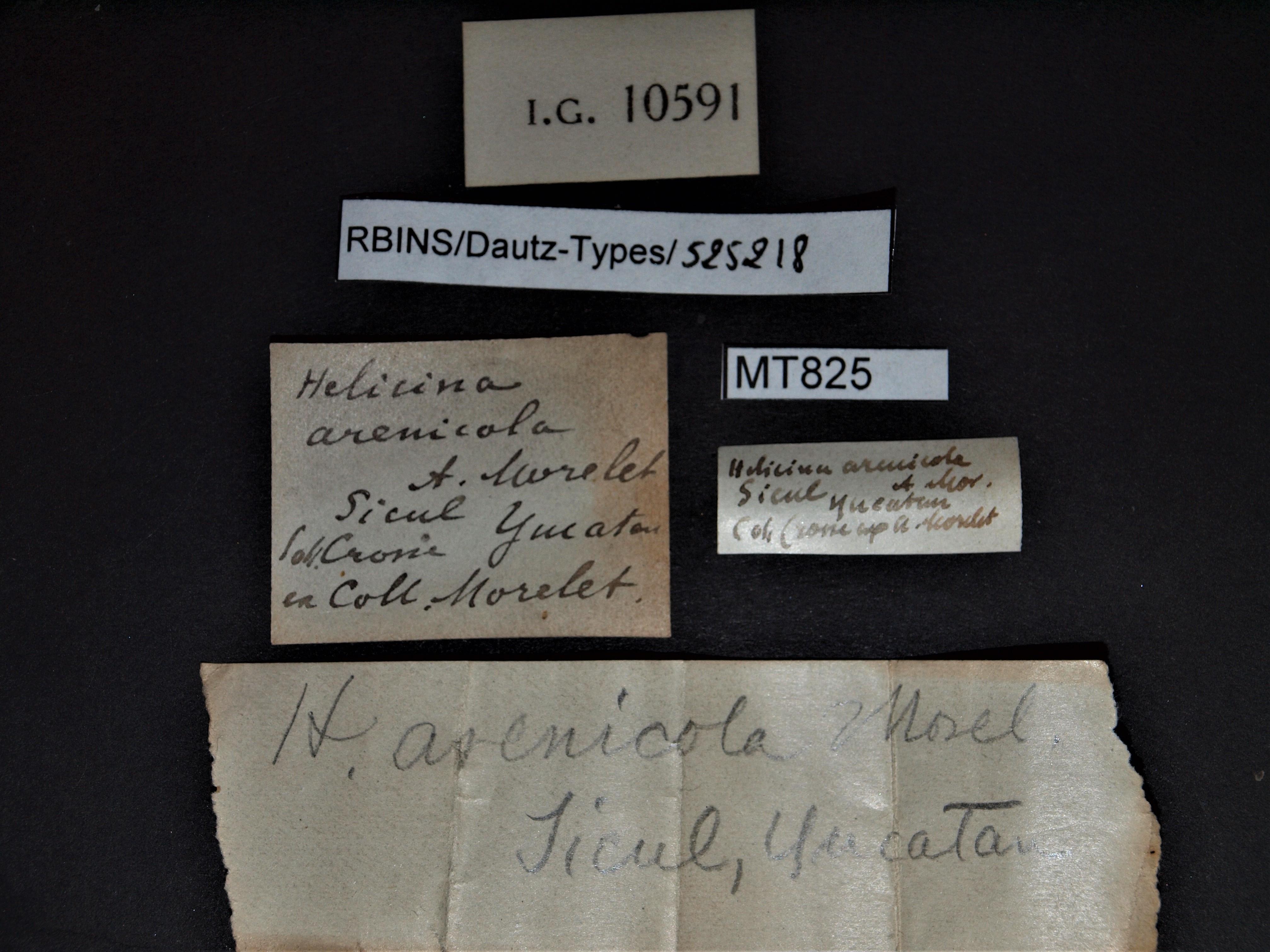 Helicina arenicola pt.JPG