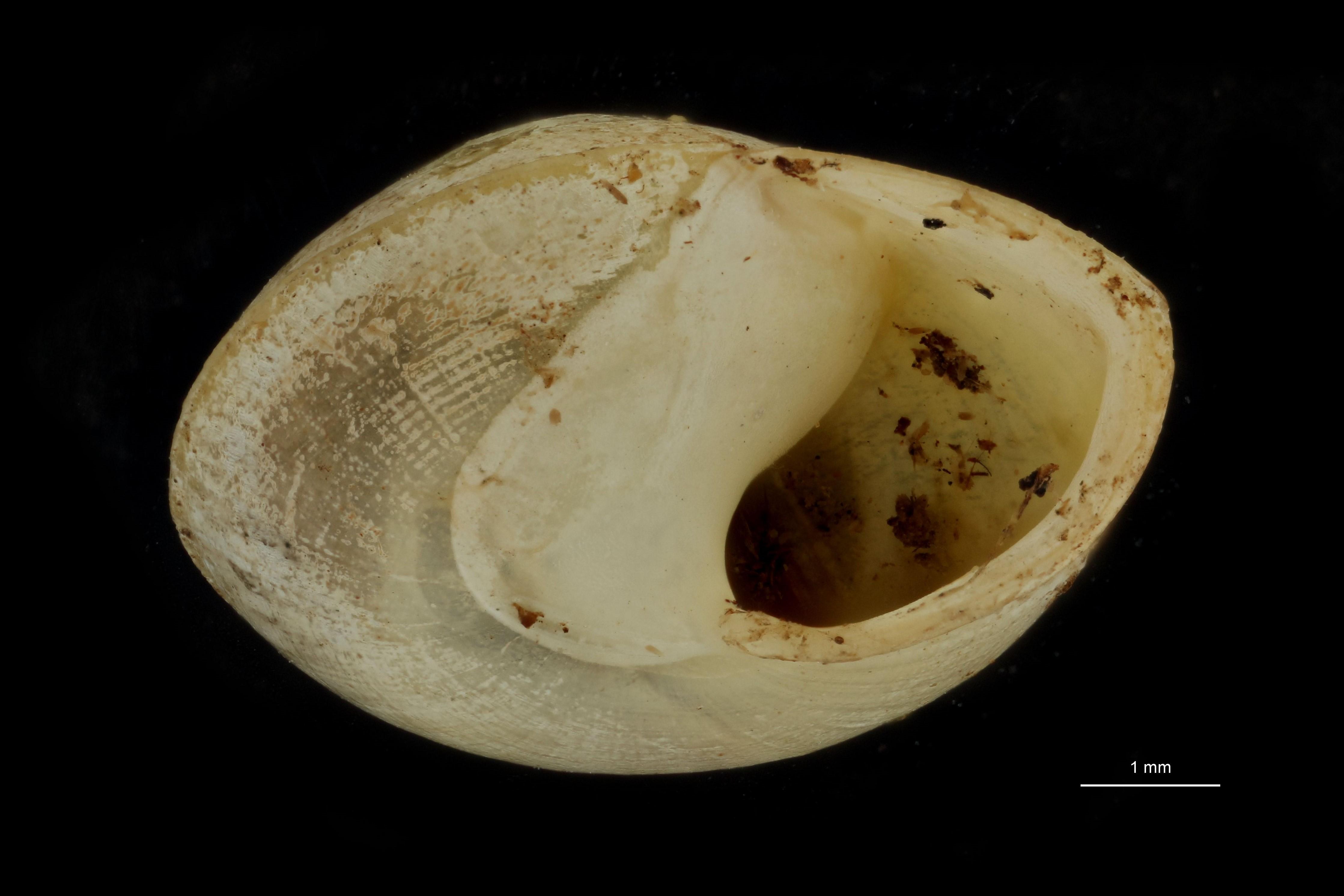 Helicina syngenes pt F.jpg