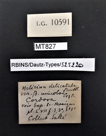 BE-RBINS-INV MT 827 Helicina (Tristramia) delicatula var. unicolor pt Lb.jpg