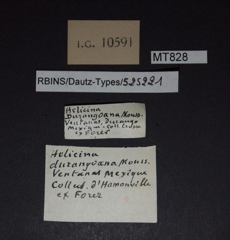 BE-RBINS-INV PARATYPE MT 828 Helicina (Tristramia) durangoana durangoana LABELS.jpg