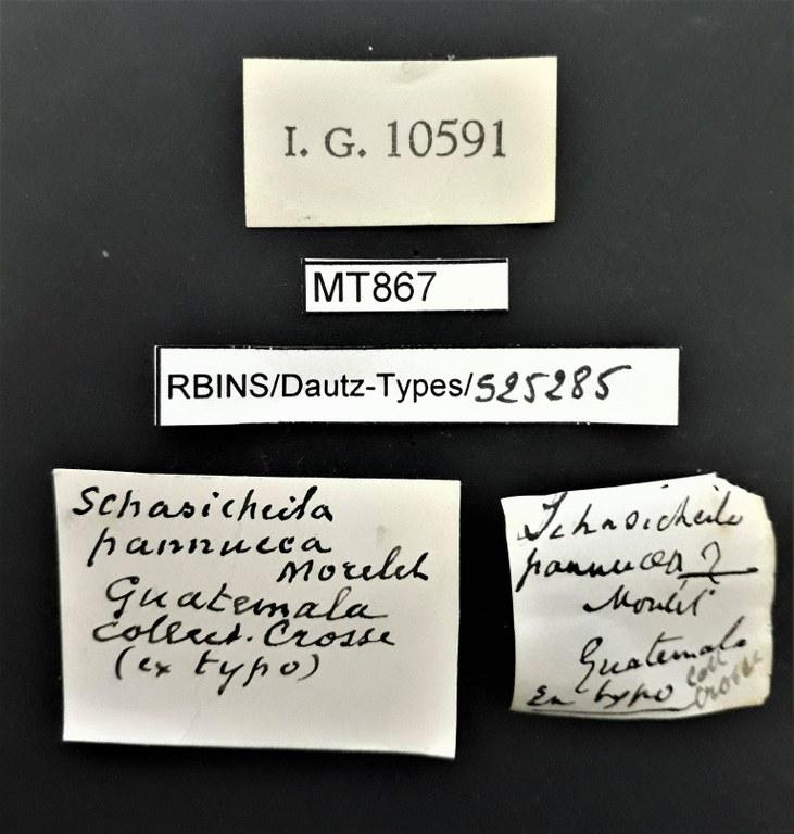 BE-RBINS-INV PARATYPE MT 867 Schasicheila (Schasicheila) pannucea LABELS.jpg