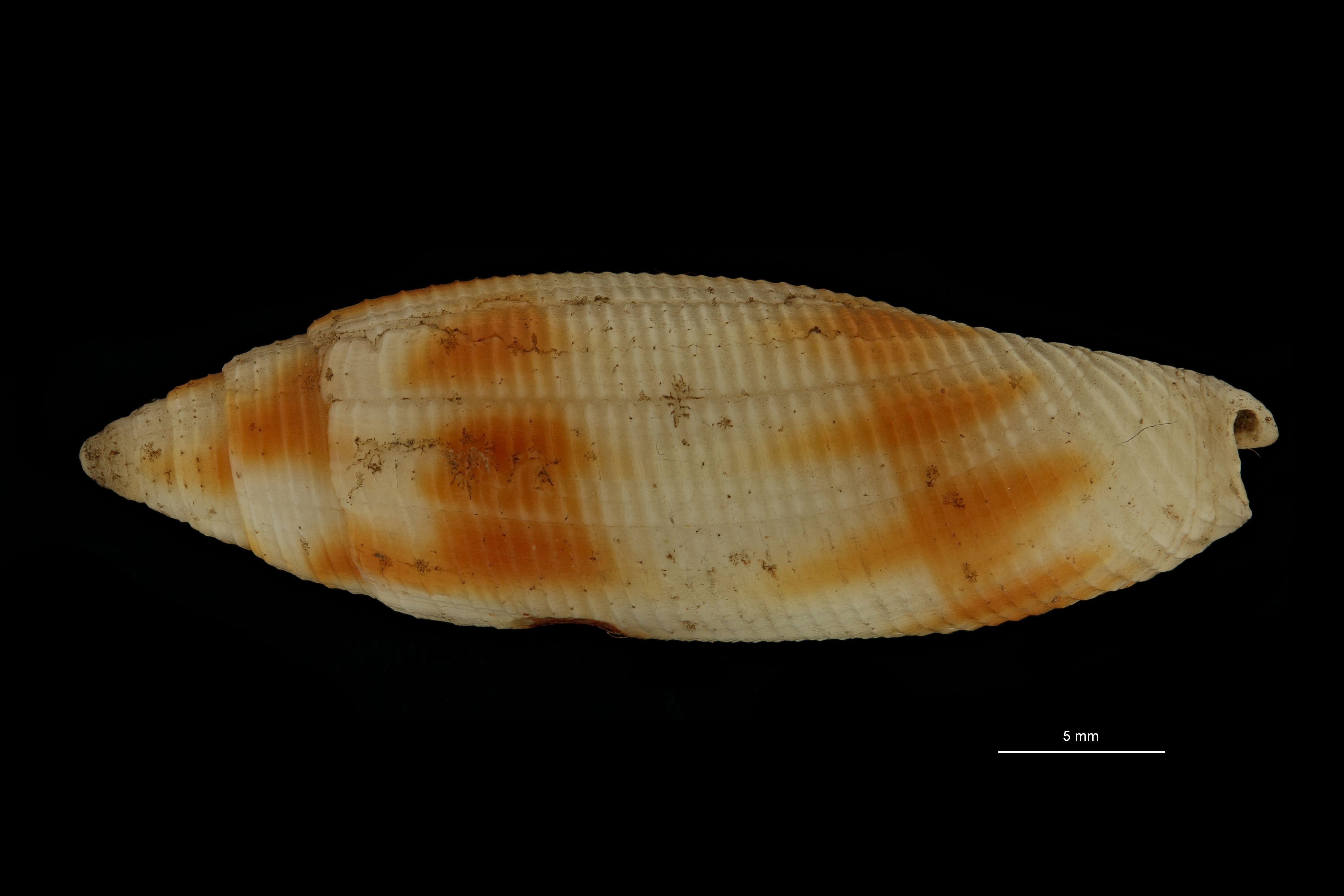BE-RBINS-INV MT.3715-Dibaphus philippii st L.jpg