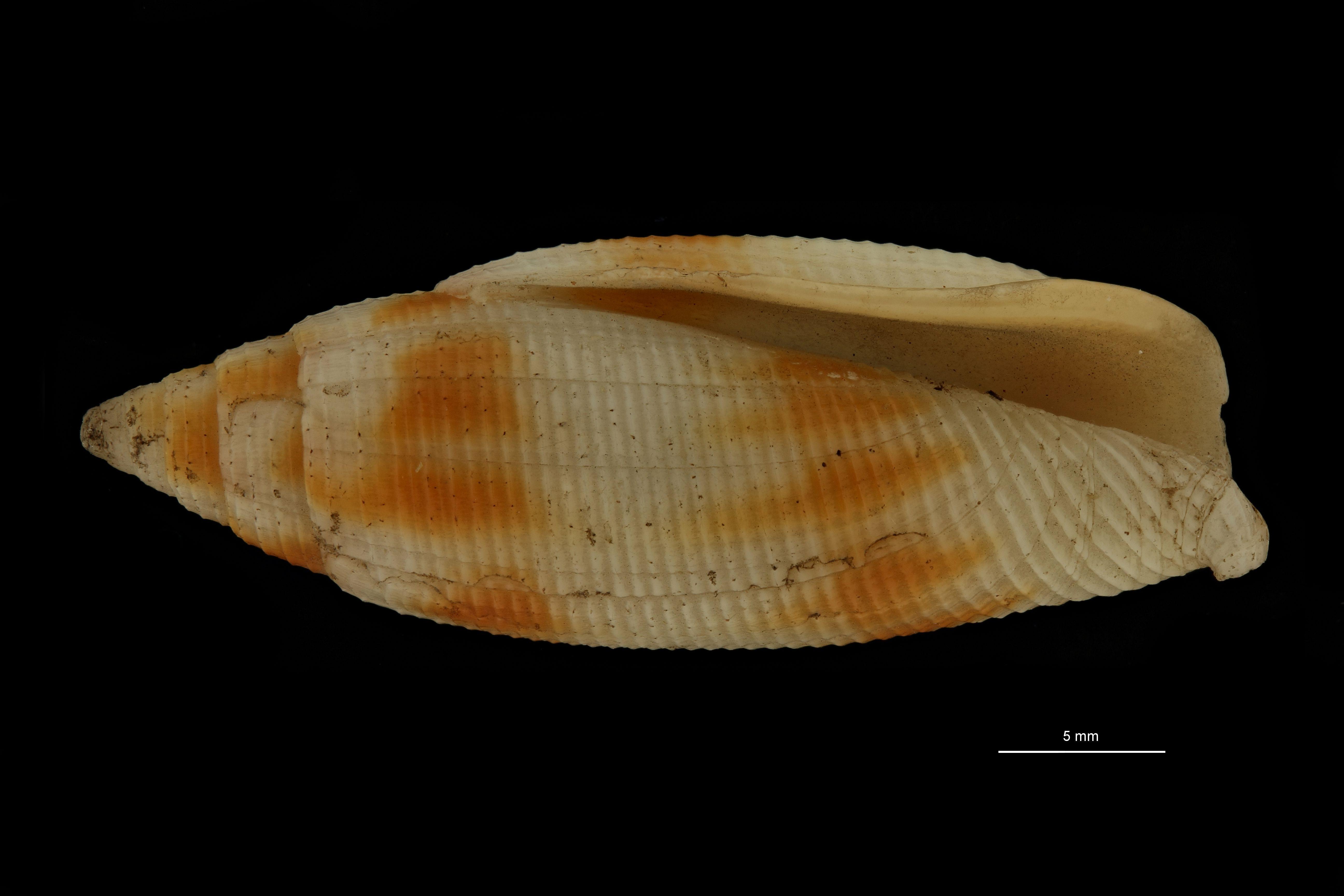 BE-RBINS-INV MT.3715-Dibaphus philippii st F.jpg
