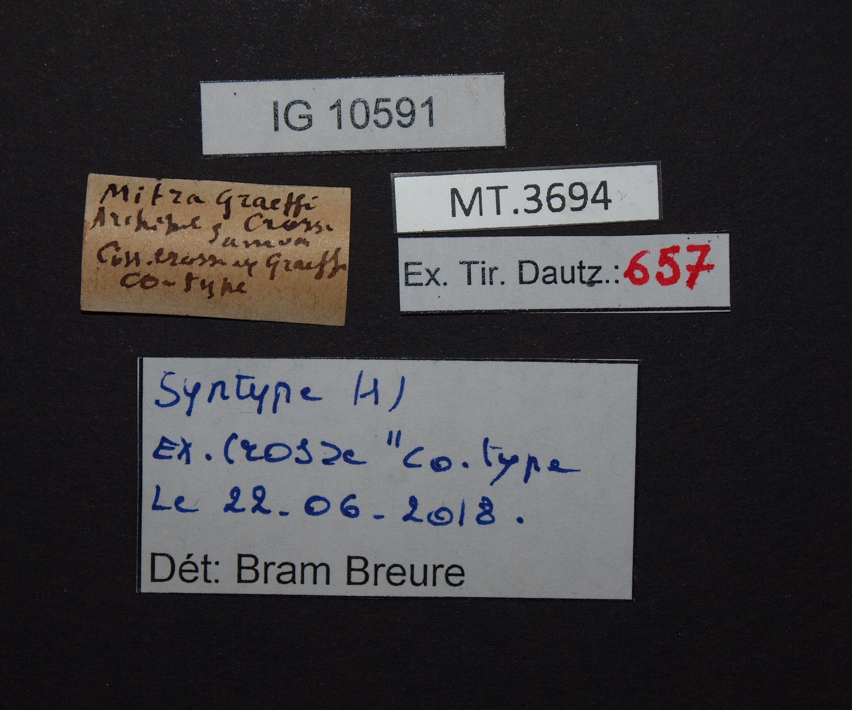BE-RBINS-INV MT.3694 Mitra graeffi st Lb.jpg