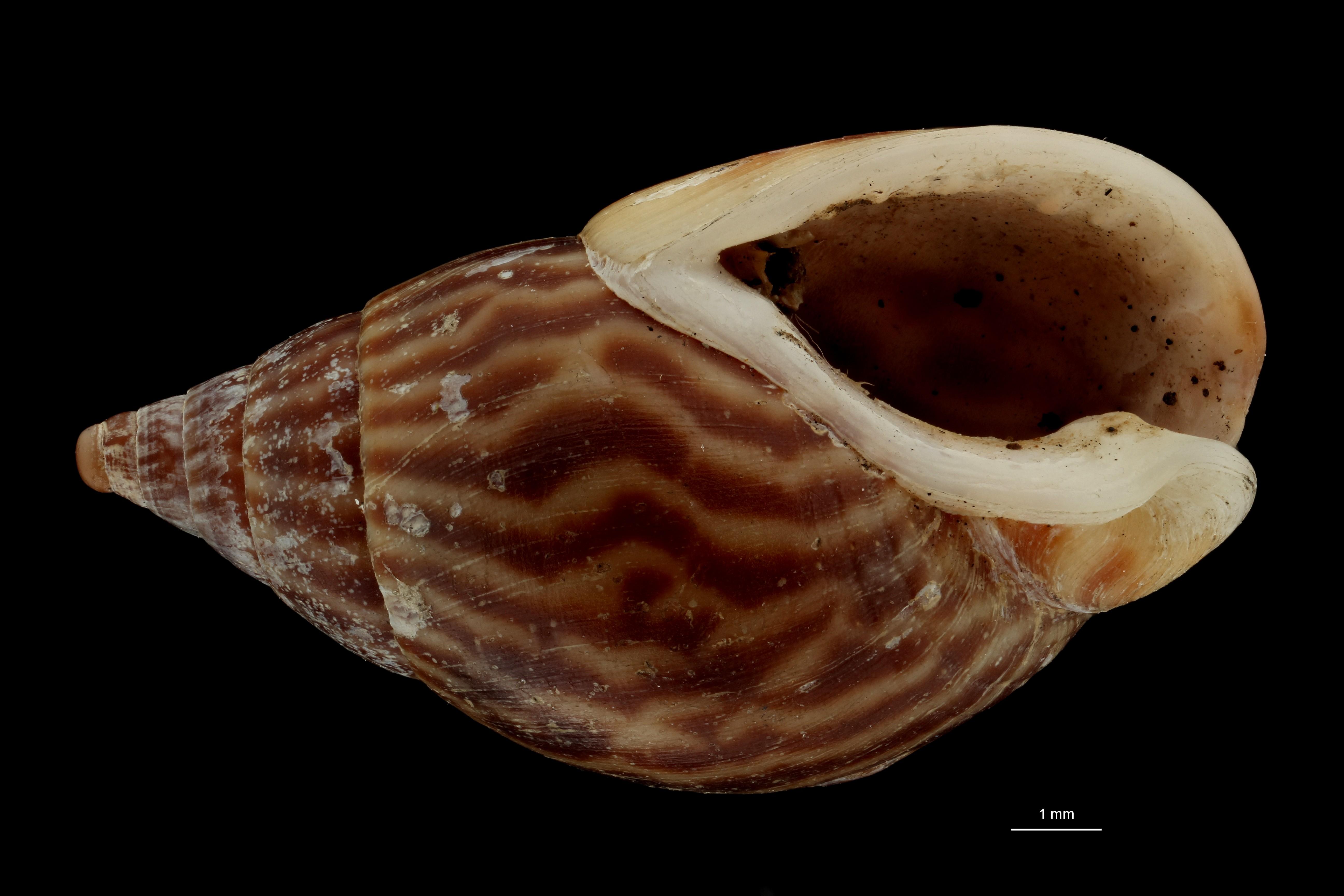 BE-RBINS-INV MT 614 Amycla conspersa var. undulata Typ V ZS PMax Scaled.jpg