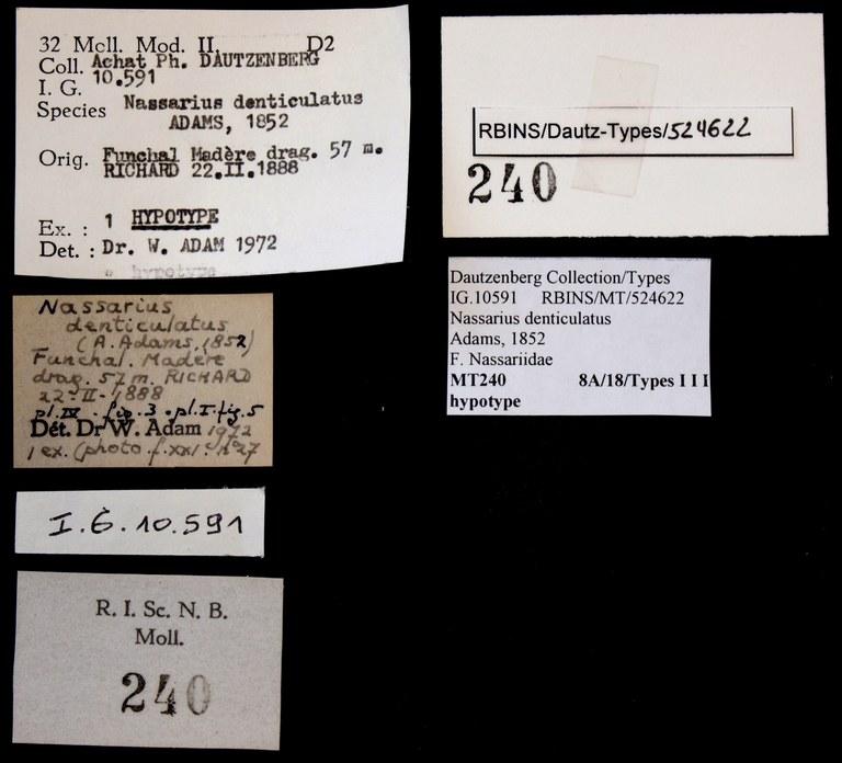 BE-RBINS-INV HYPOTYPE MT 240 Nassarius denticulatus LABELS.jpg