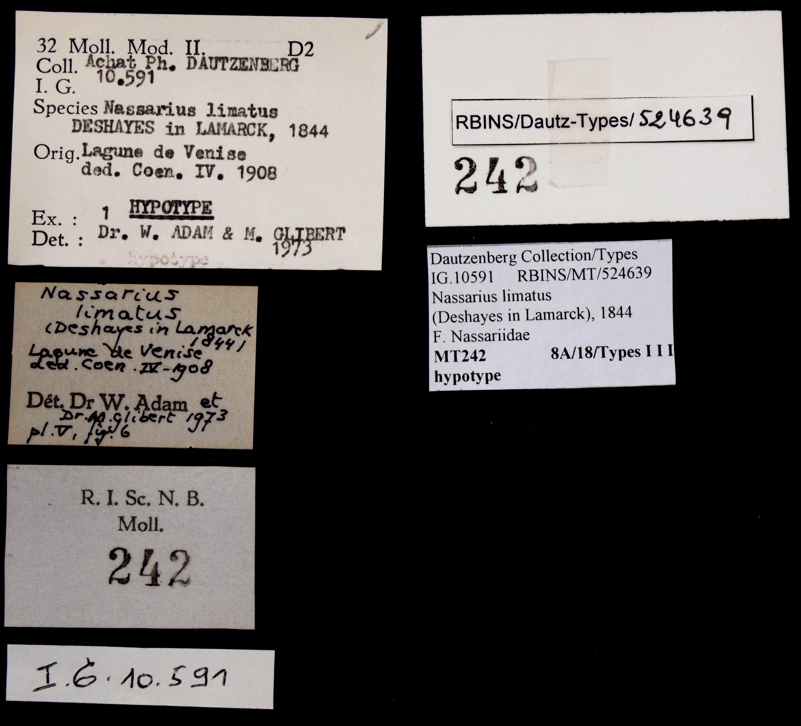 0242 Nassarius limatus Hyp Lb.JPG