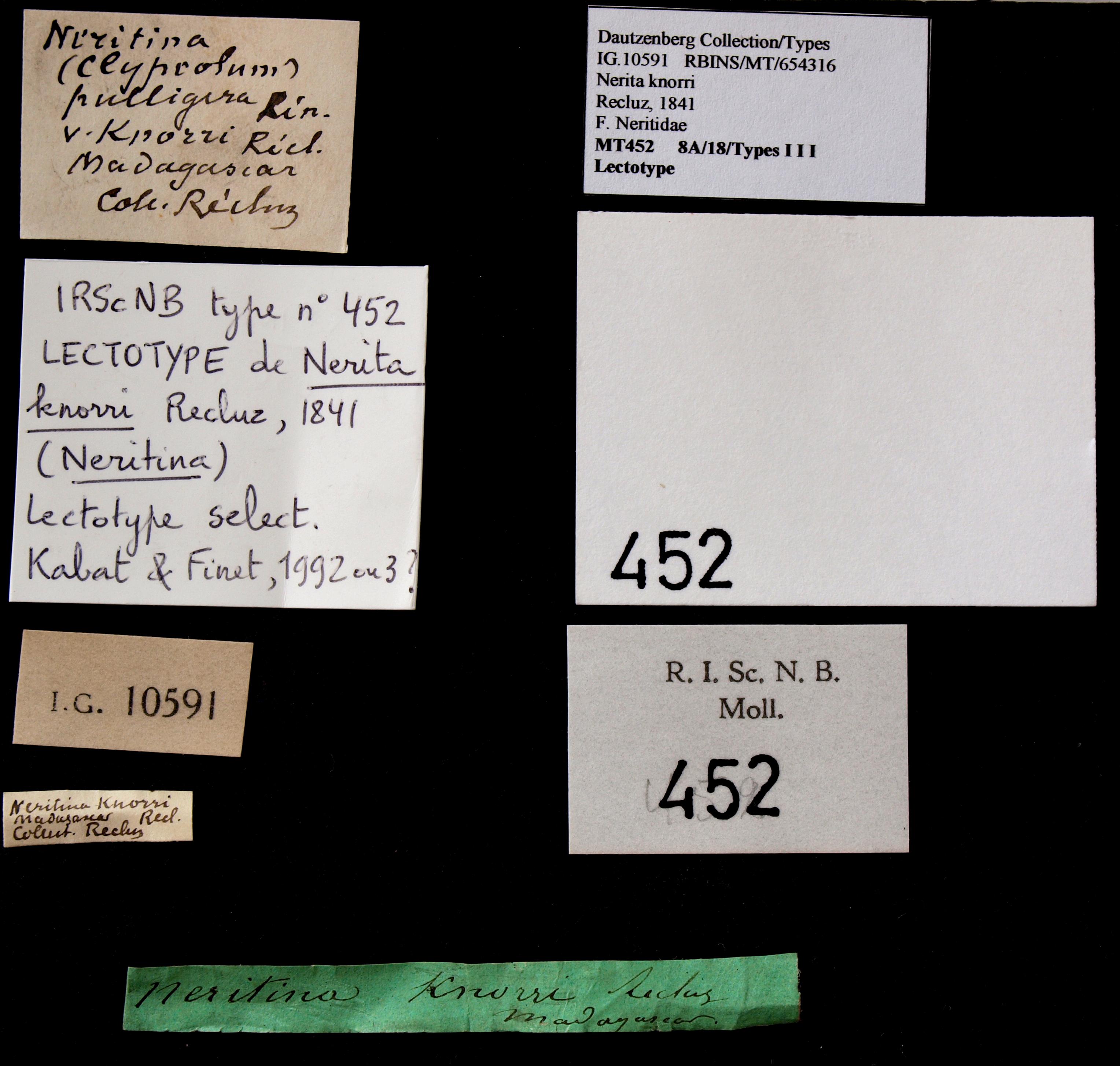 0452 Nerita knorri Lct Lb.JPG