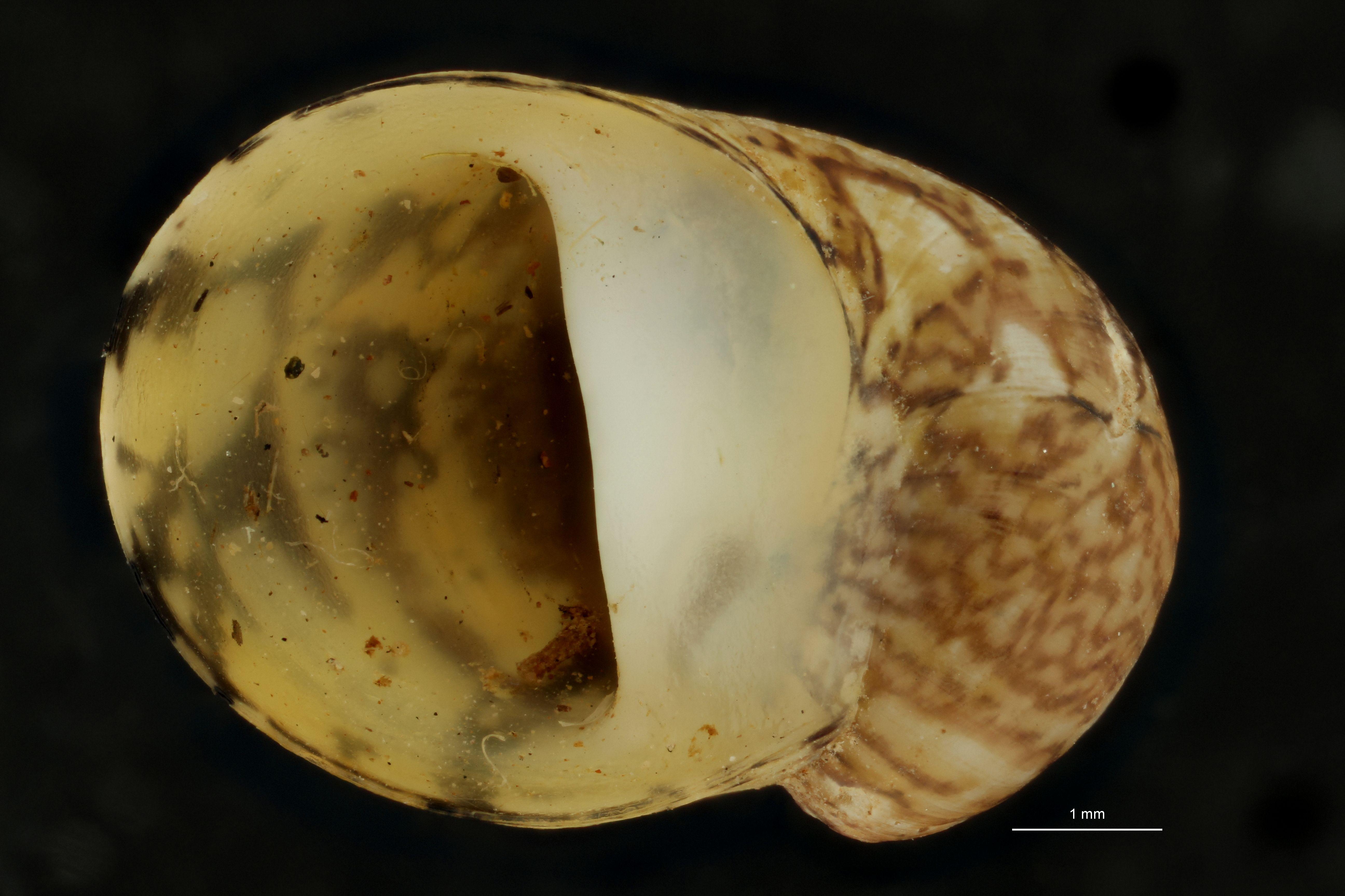 BE-RBINS-INV PATATYPE MT 816 Neritina fluviatis var. zernovnicensis FRONTAL.jpg