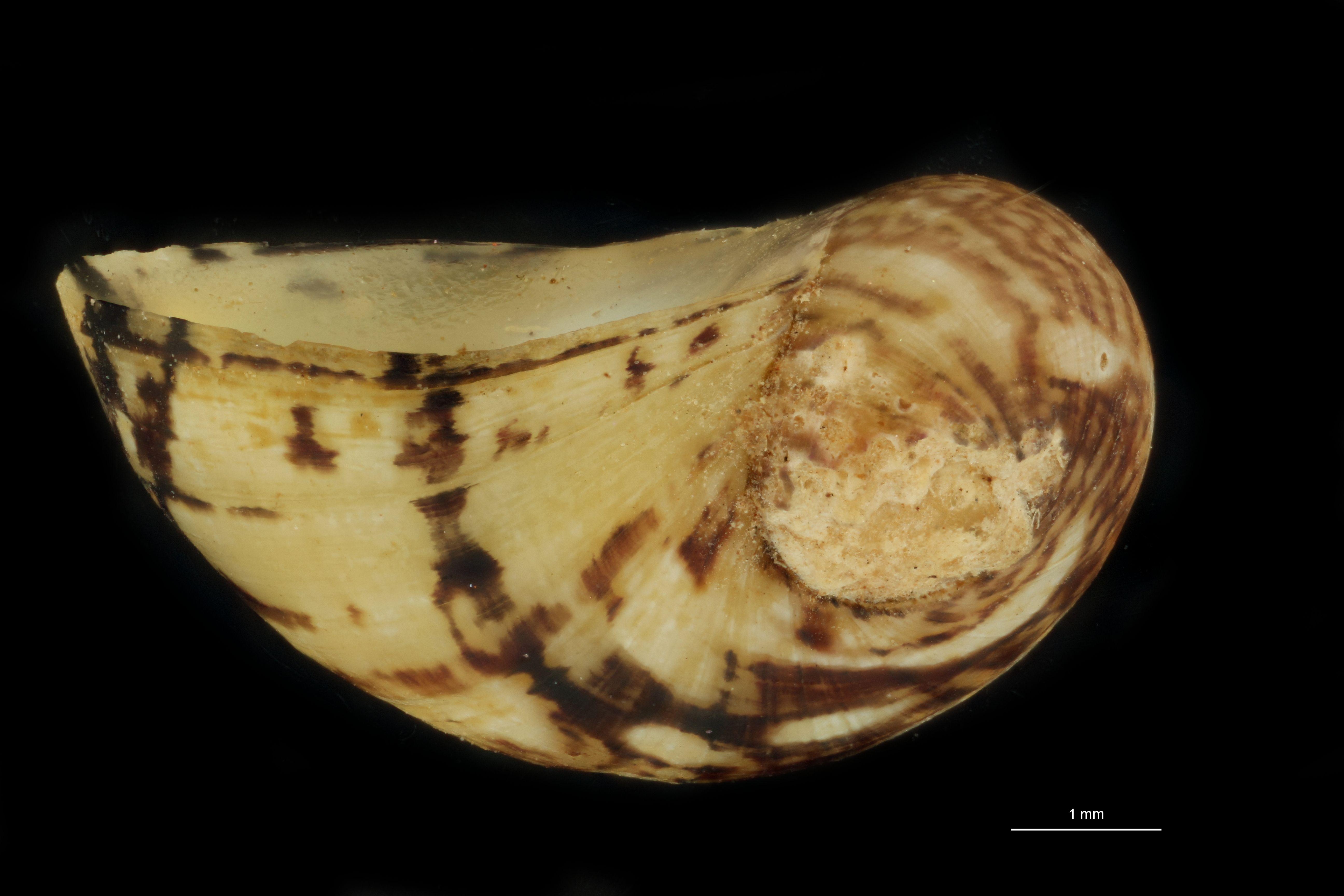BE-RBINS-INV PATATYPE MT 816 Neritina fluviatis var. zernovnicensis LATERAL.jpg