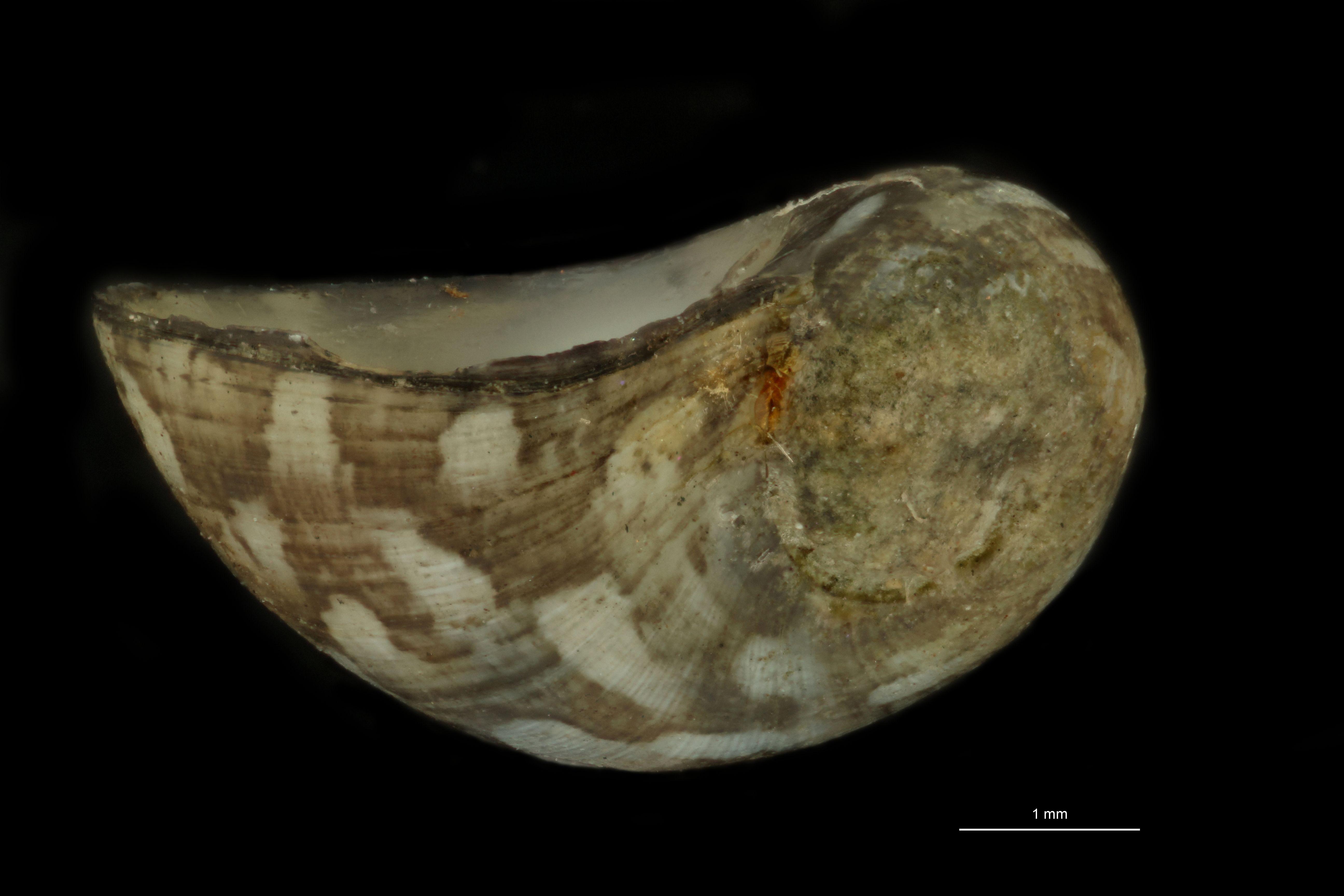 Neritina mittreana pt L.jpg