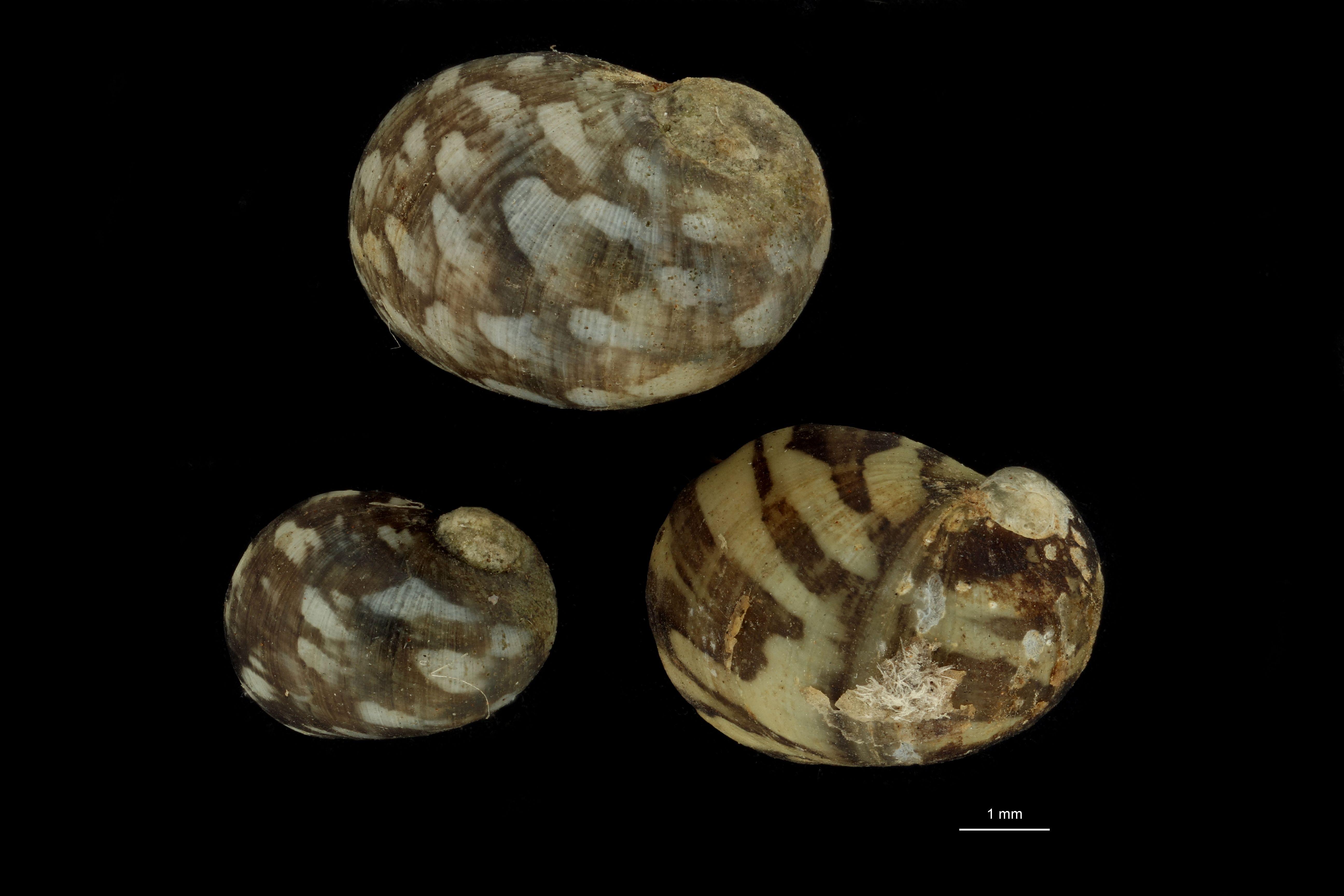 Neritina mittreana pt GROUPE.jpg
