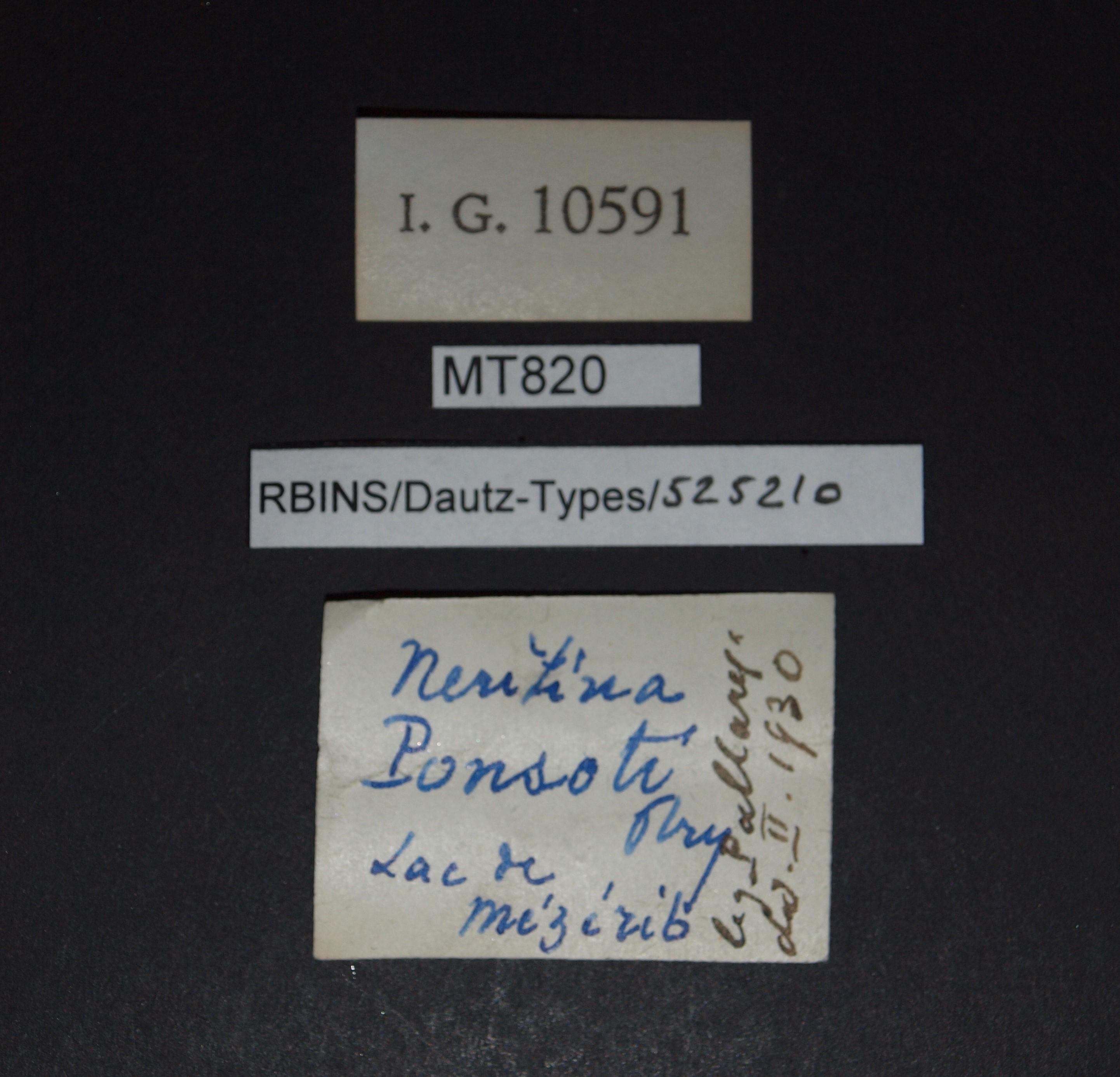BE-RBINS-INV MT 820 Neritina ponsoti pt Lb.jpg