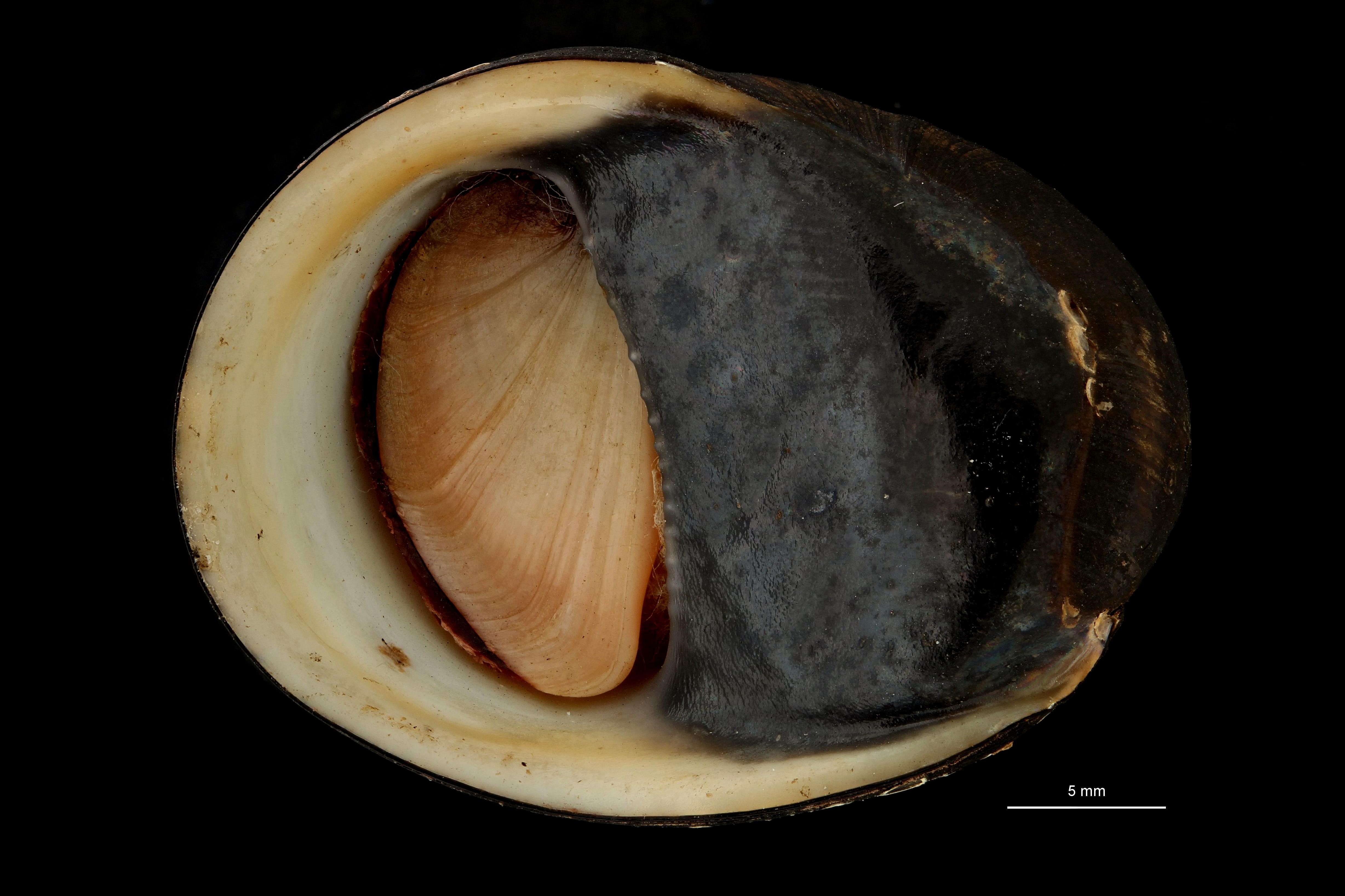 Neritina pulligera var sumatrana ht F.jpg