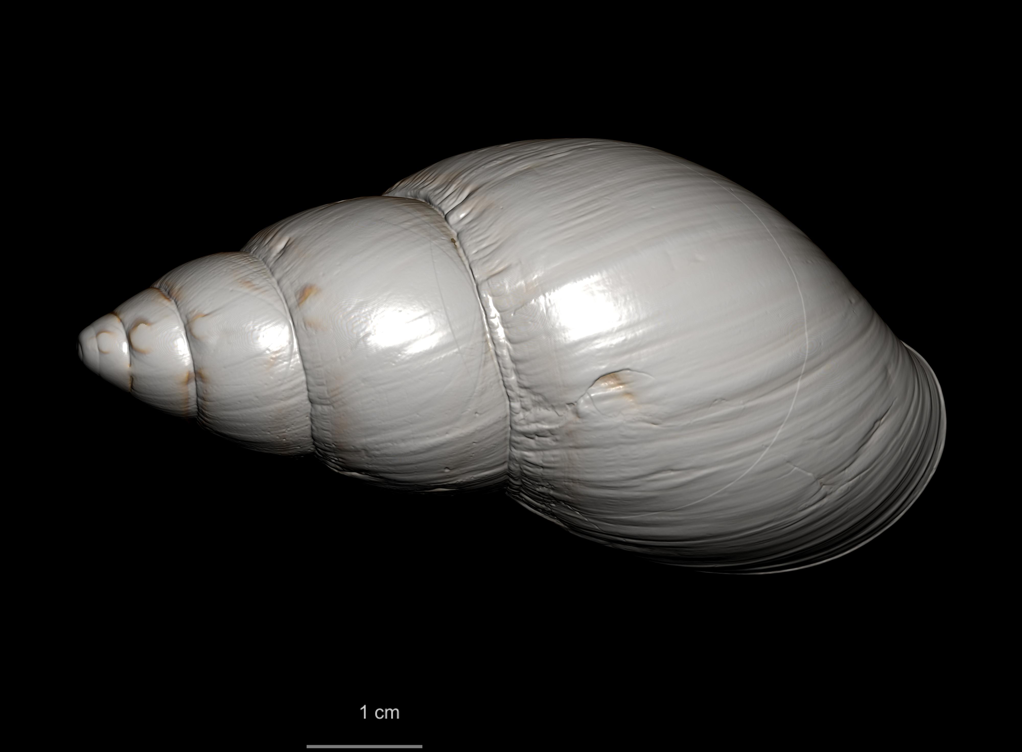 BE-RBINS-INV PARALECTOTYPE MT 2359 Thaumastus thomsonii lutea MCT RX DORSAL.jpg