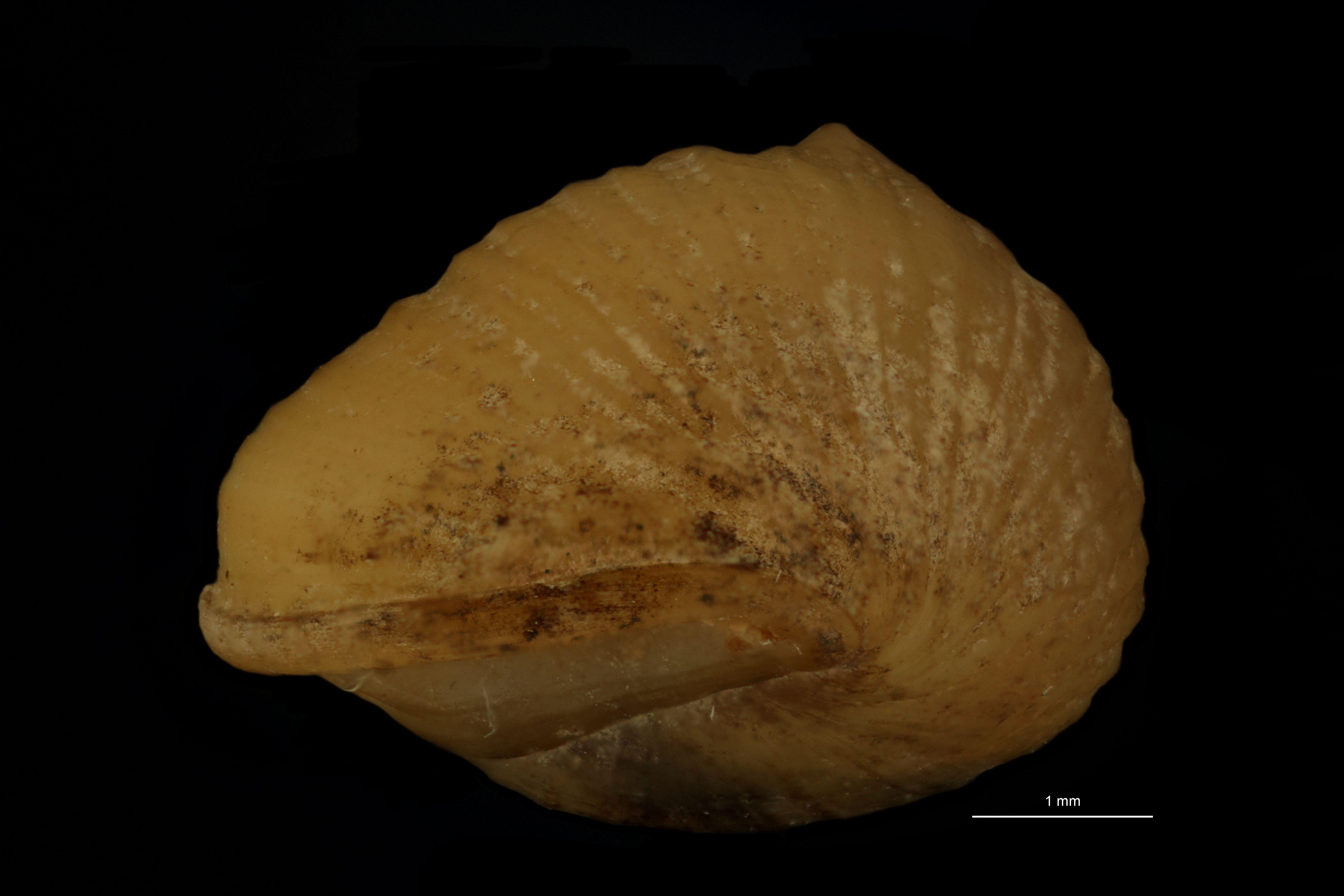 BE-RBINS-INV SYNTYPE MT.3725 Pachydrobia paradoxa BUCAL.jpg