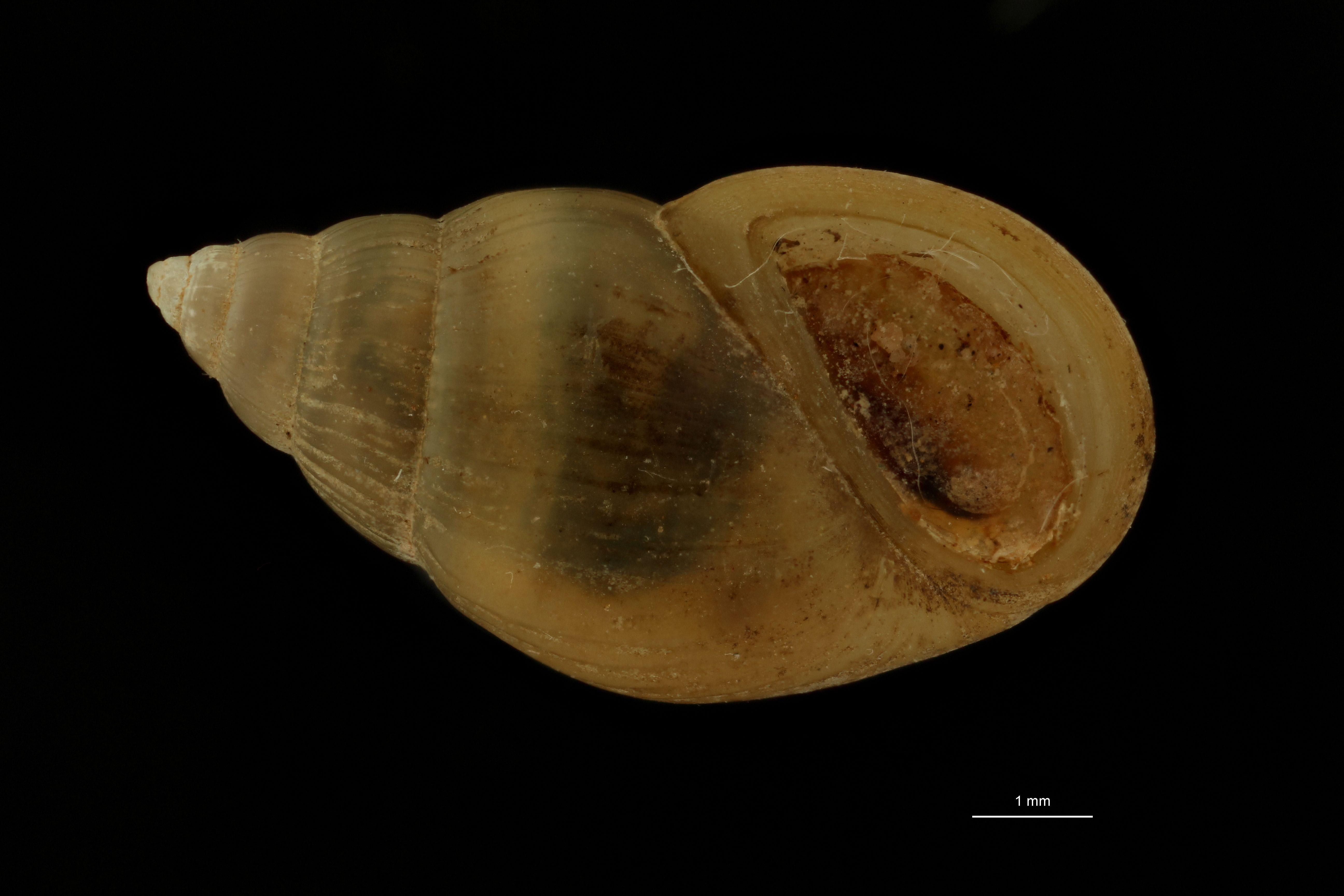 BE-RBINS-INV SYNTYPE MT.3725 Pachydrobia paradoxa FRONTAL.jpg