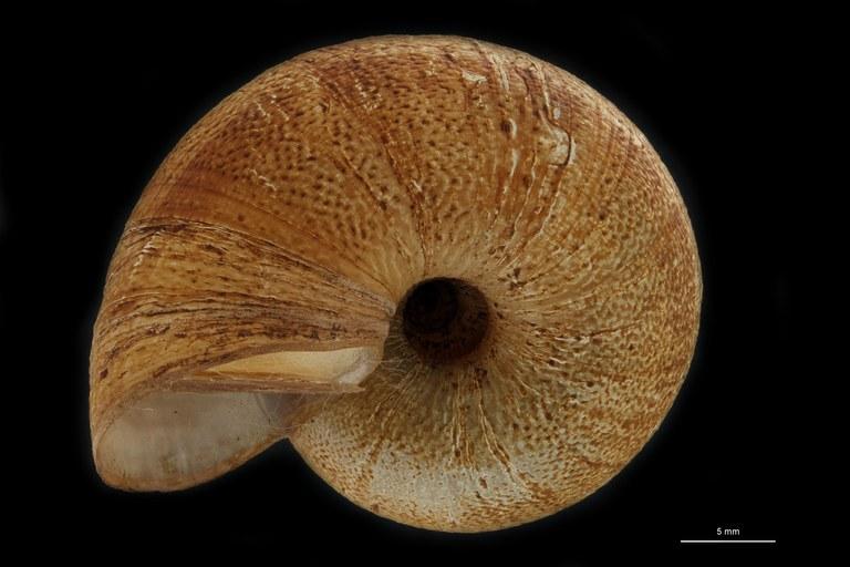BE-RBINS-INV PARATYPE MT 947 Amphicyclotus boucardi BUCAL.jpg
