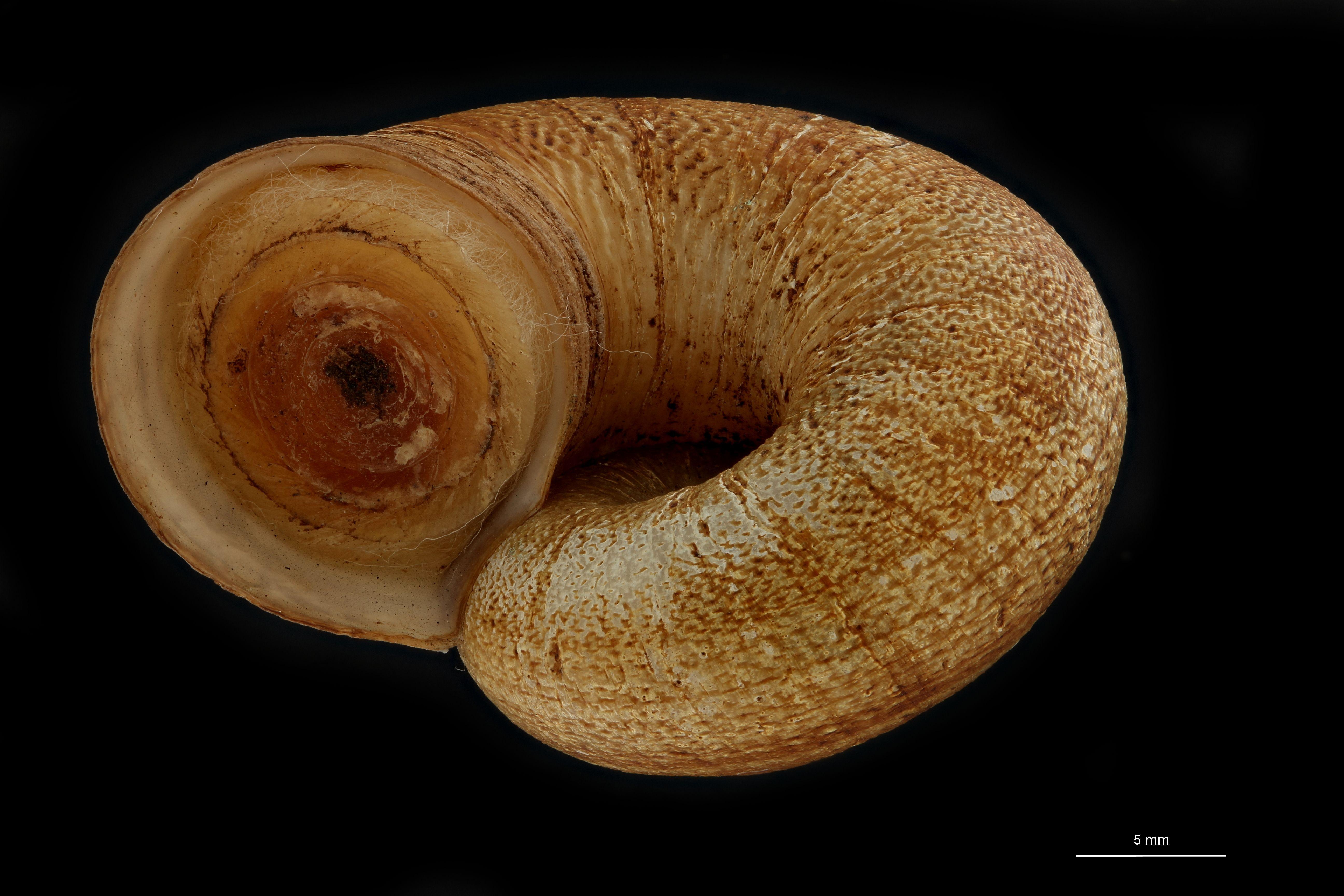 BE-RBINS-INV PARATYPE MT 947 Amphicyclotus boucardi FRONTAL.jpg
