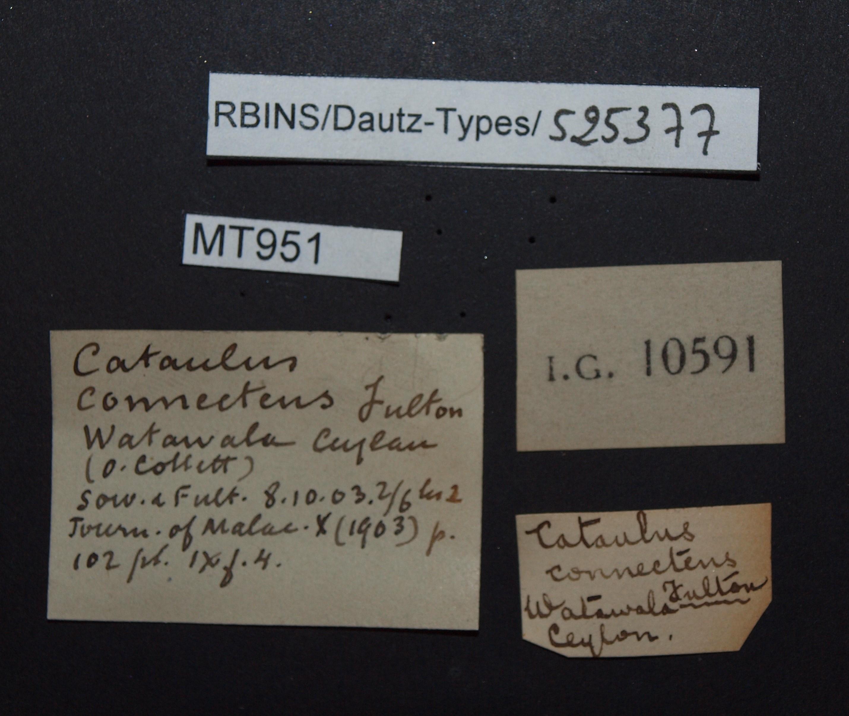 BE-RBINS-INV MT 951 Cataulus connectens pt Lb.jpg