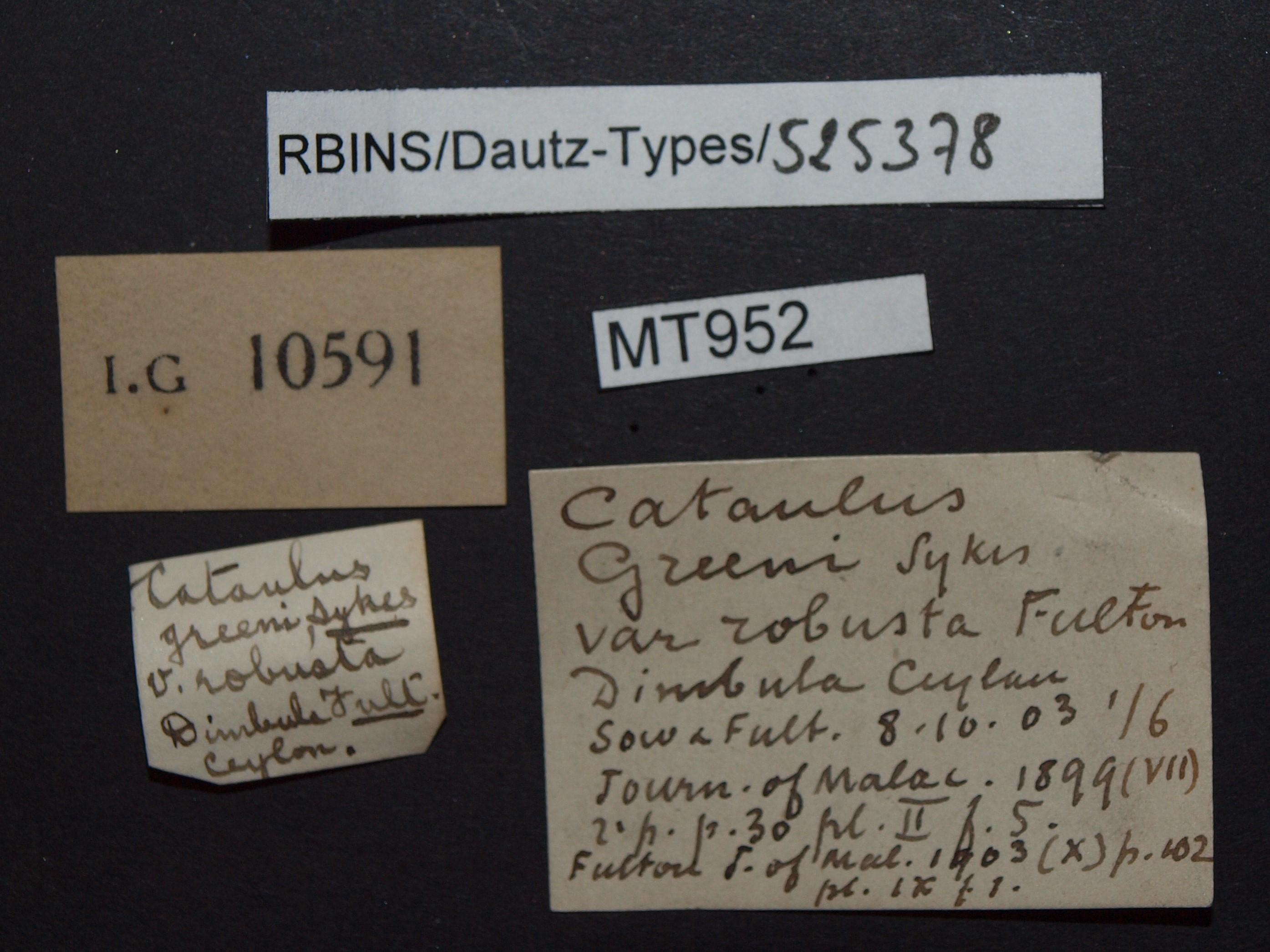 BE-RBINS-INV MT 952 Cataulus greeni var. robusta pt Lb.JPG
