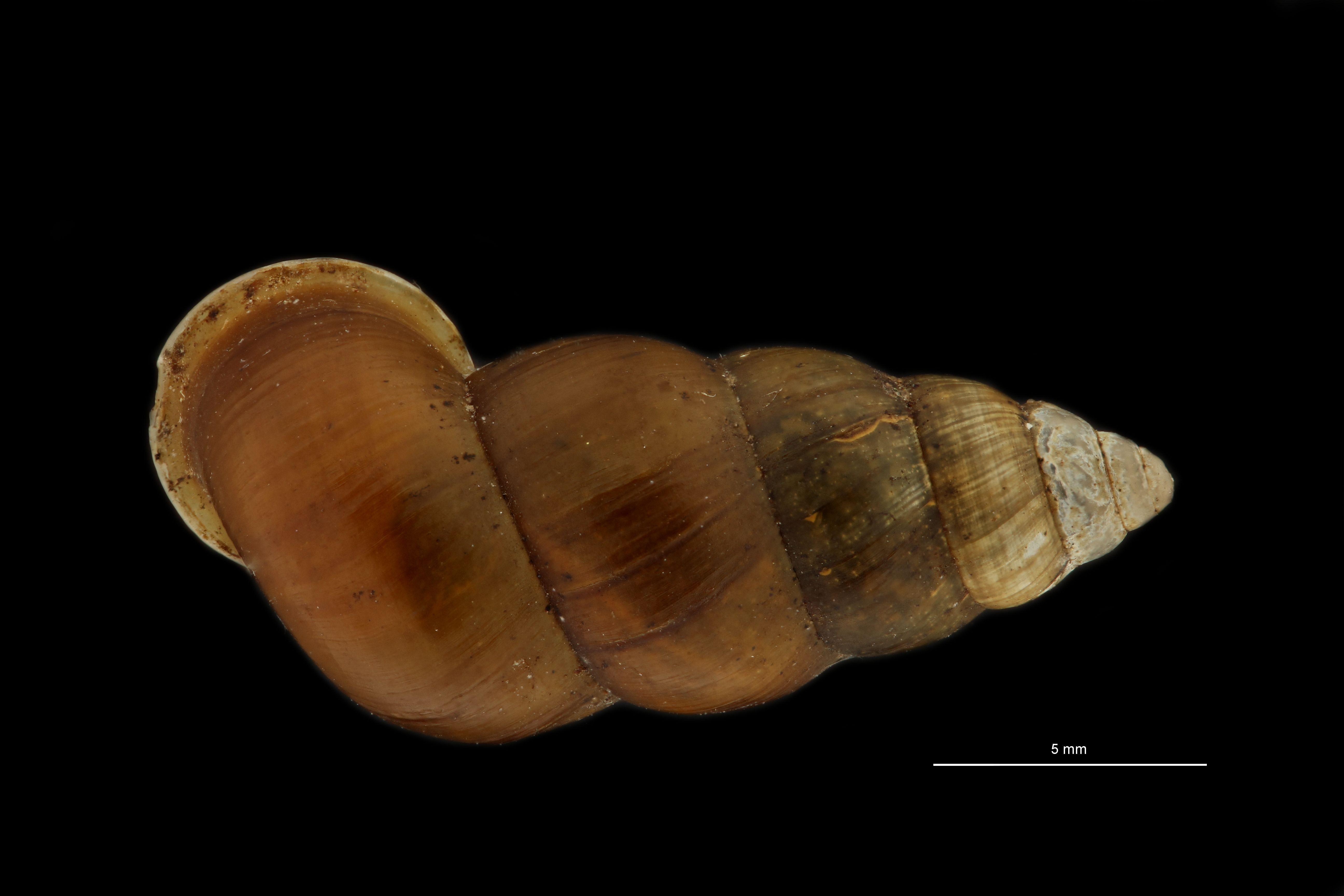 BE-RBINS-INV MT 948 Coptocheilus inermis pt D.jpg