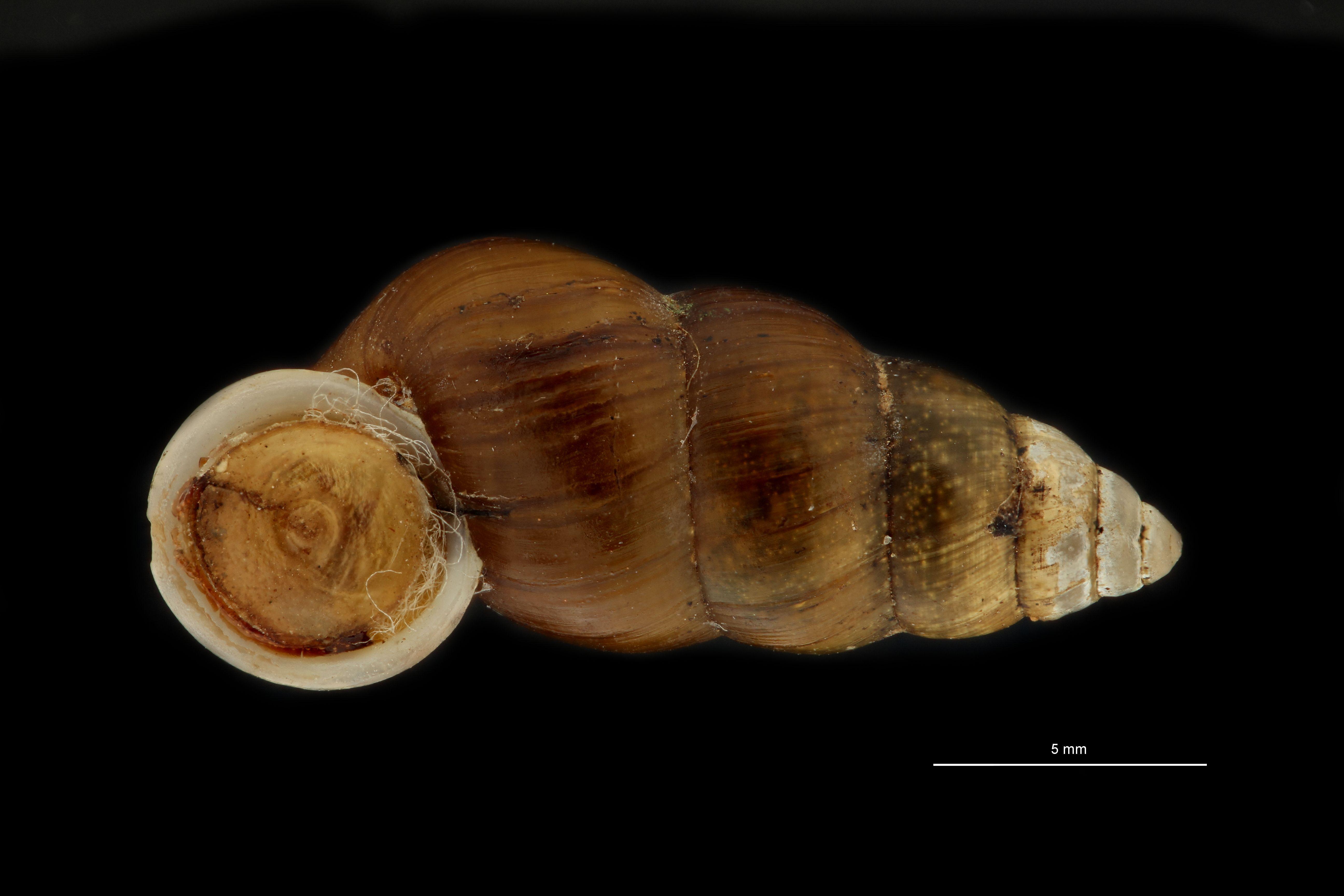 BE-RBINS-INV MT 948 Coptocheilus inermis pt F.jpg
